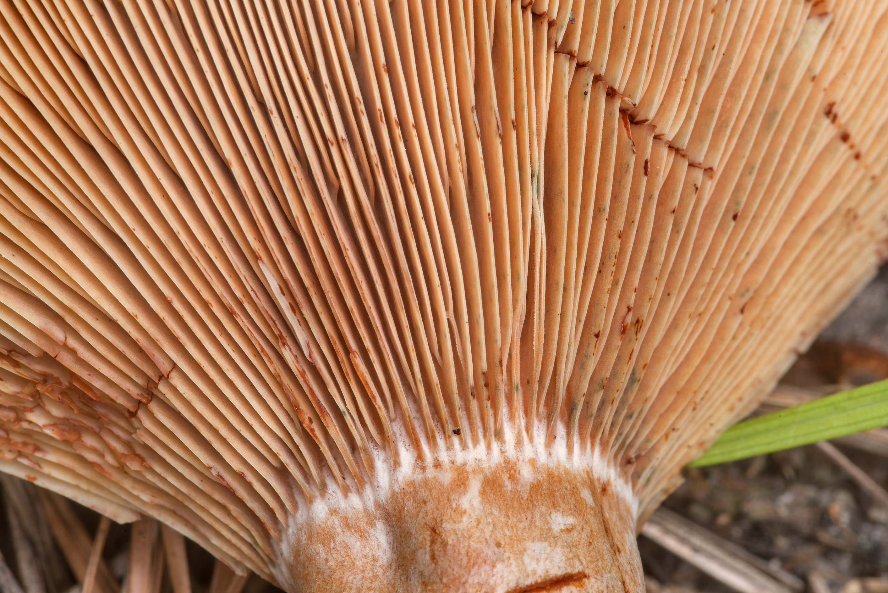 Close-up of gills of a large milkcap mushroom...National Forest near Montgomery. Texas