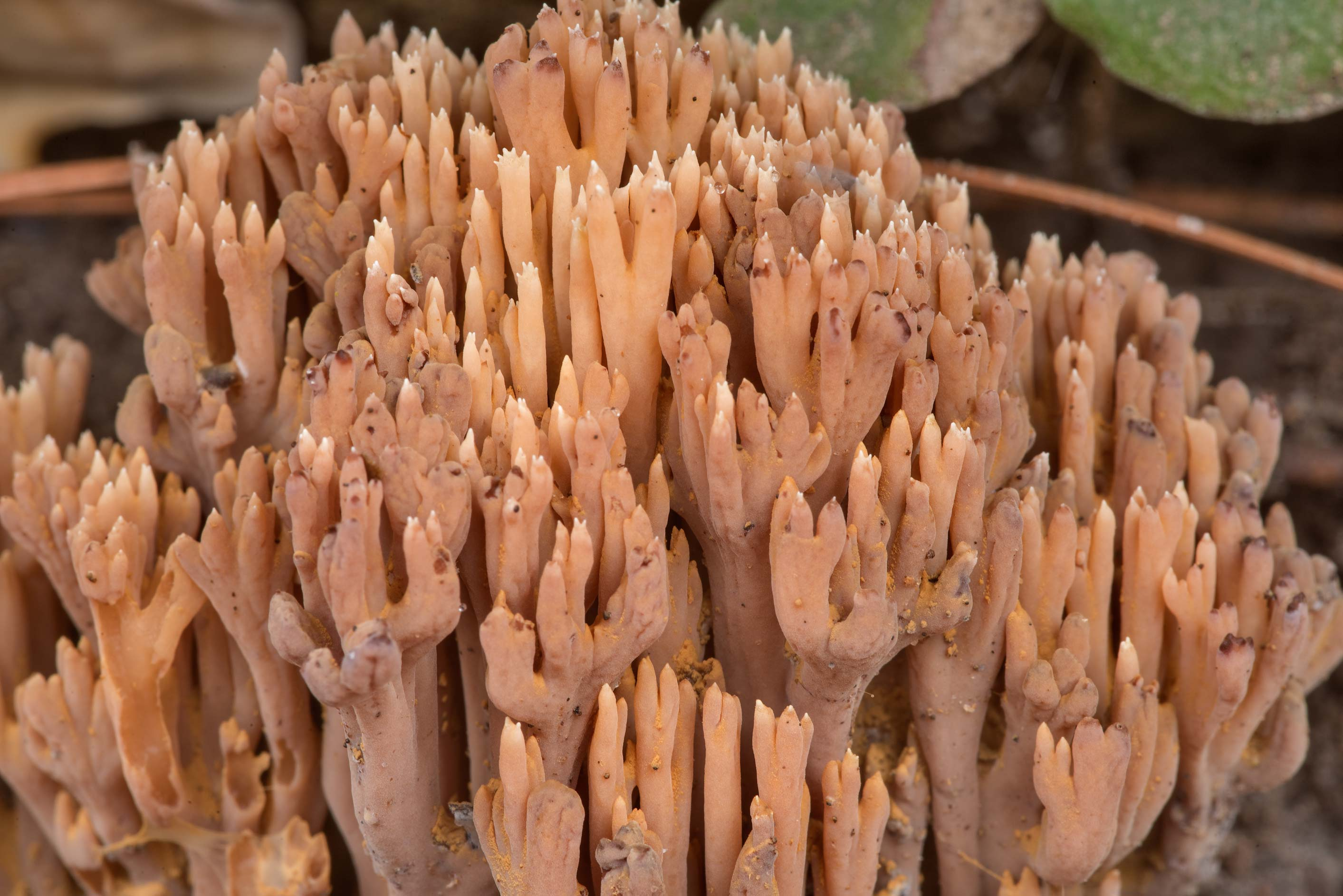Close-up of brown coral mushrooms Ramaria near a...National Forest near Huntsville. Texas