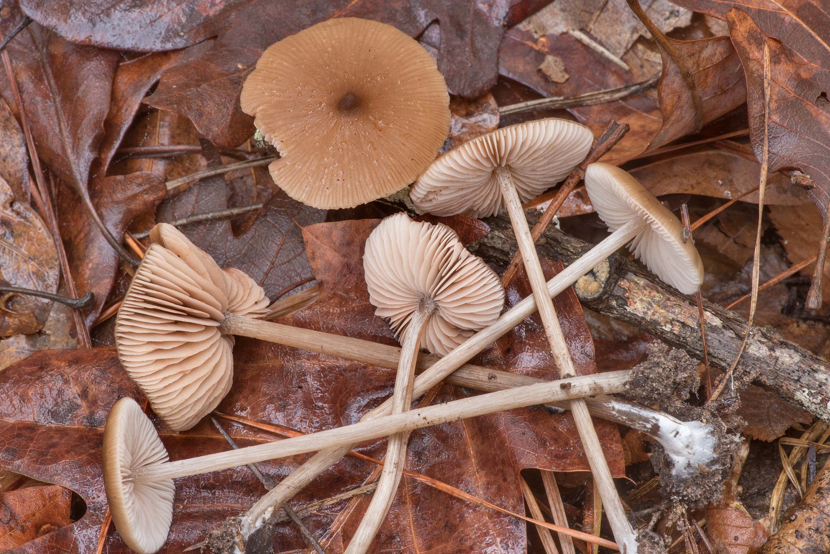 Pinkgill mushrooms Entoloma hirtipes among oak...National Forest near Huntsville. Texas