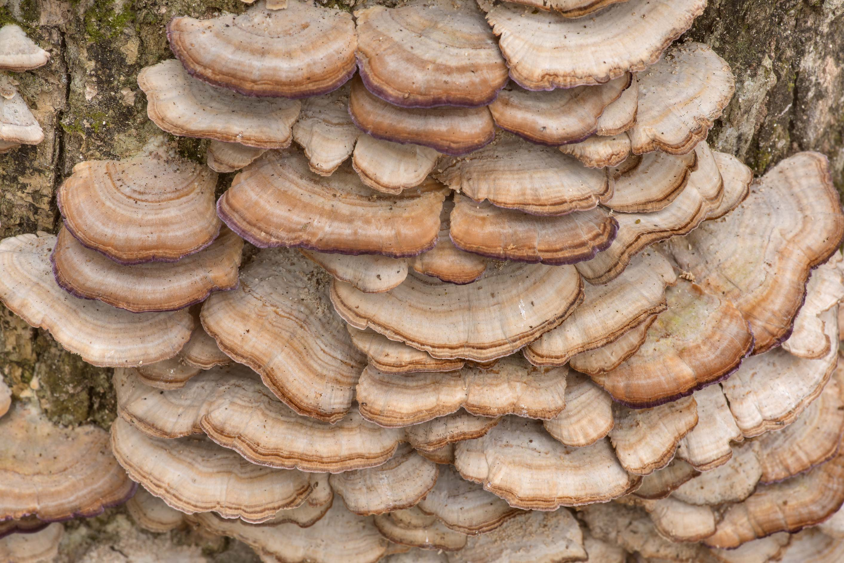 Purple toothed polypore mushrooms (Trichaptum...National Forest near Huntsville. Texas