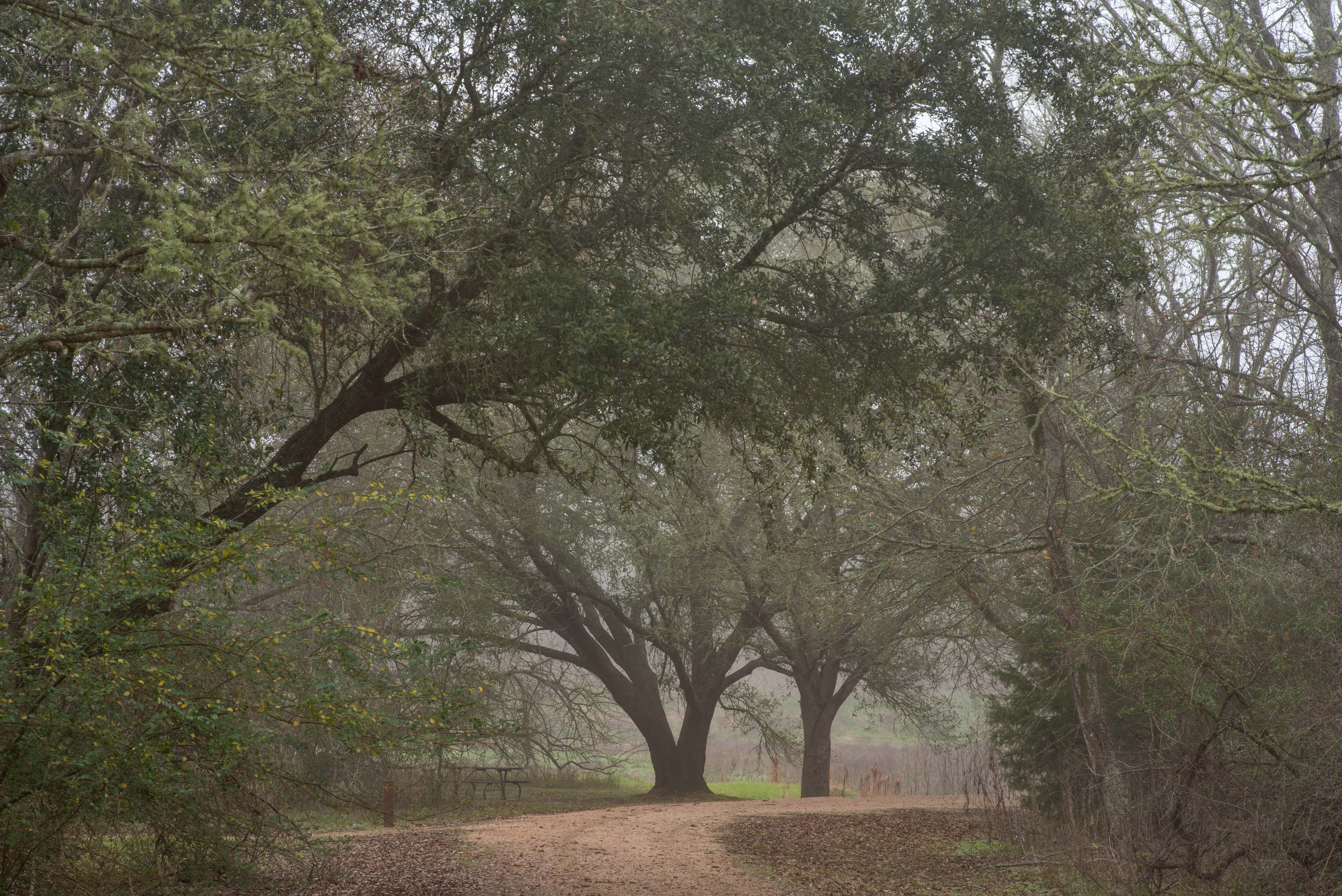 Live oaks near a former pond in Washington-on-the...State Historic Site. Washington, Texas