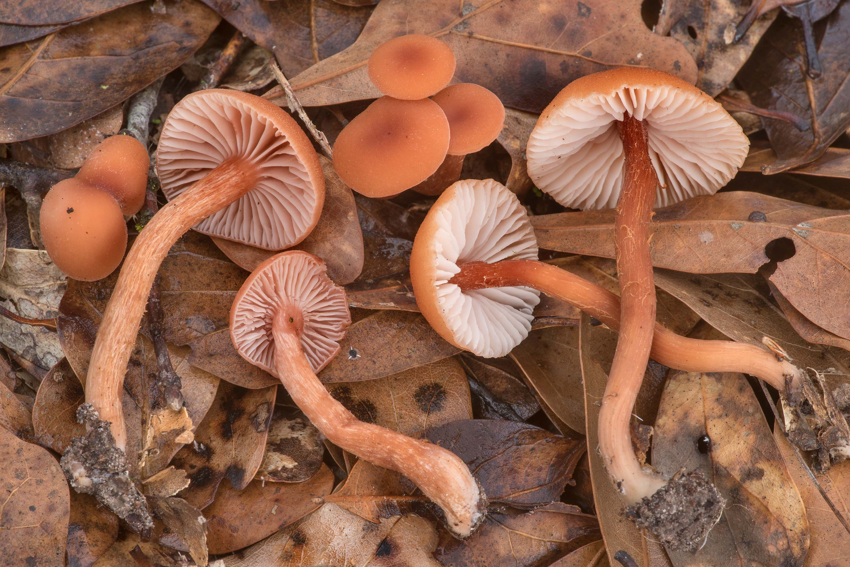 Deceiver mushrooms (Laccaria laccata) under small...Creek Park. College Station, Texas