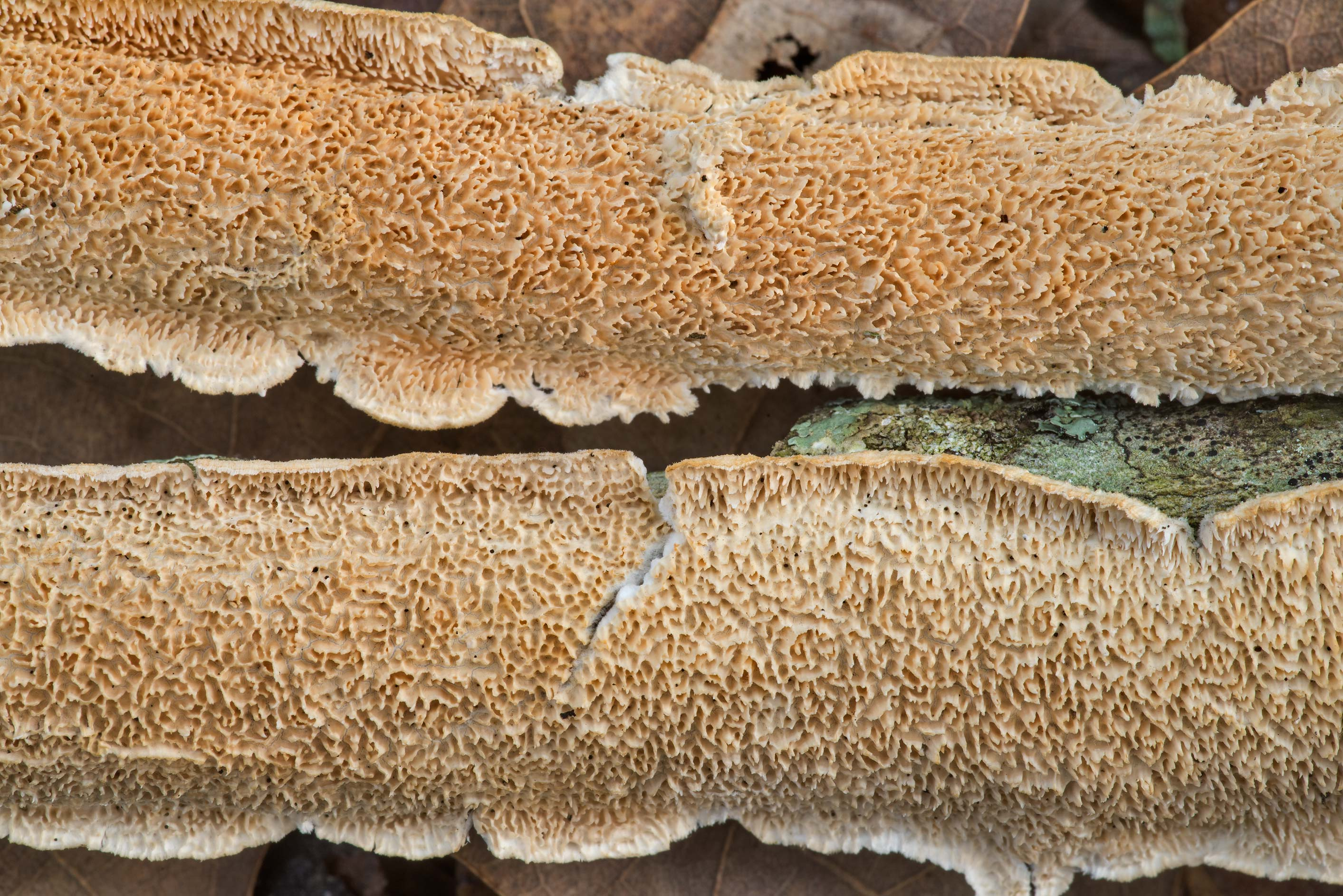 Close-up of milk-white toothed polypore mushroom...in Hensel Park. College Station, Texas