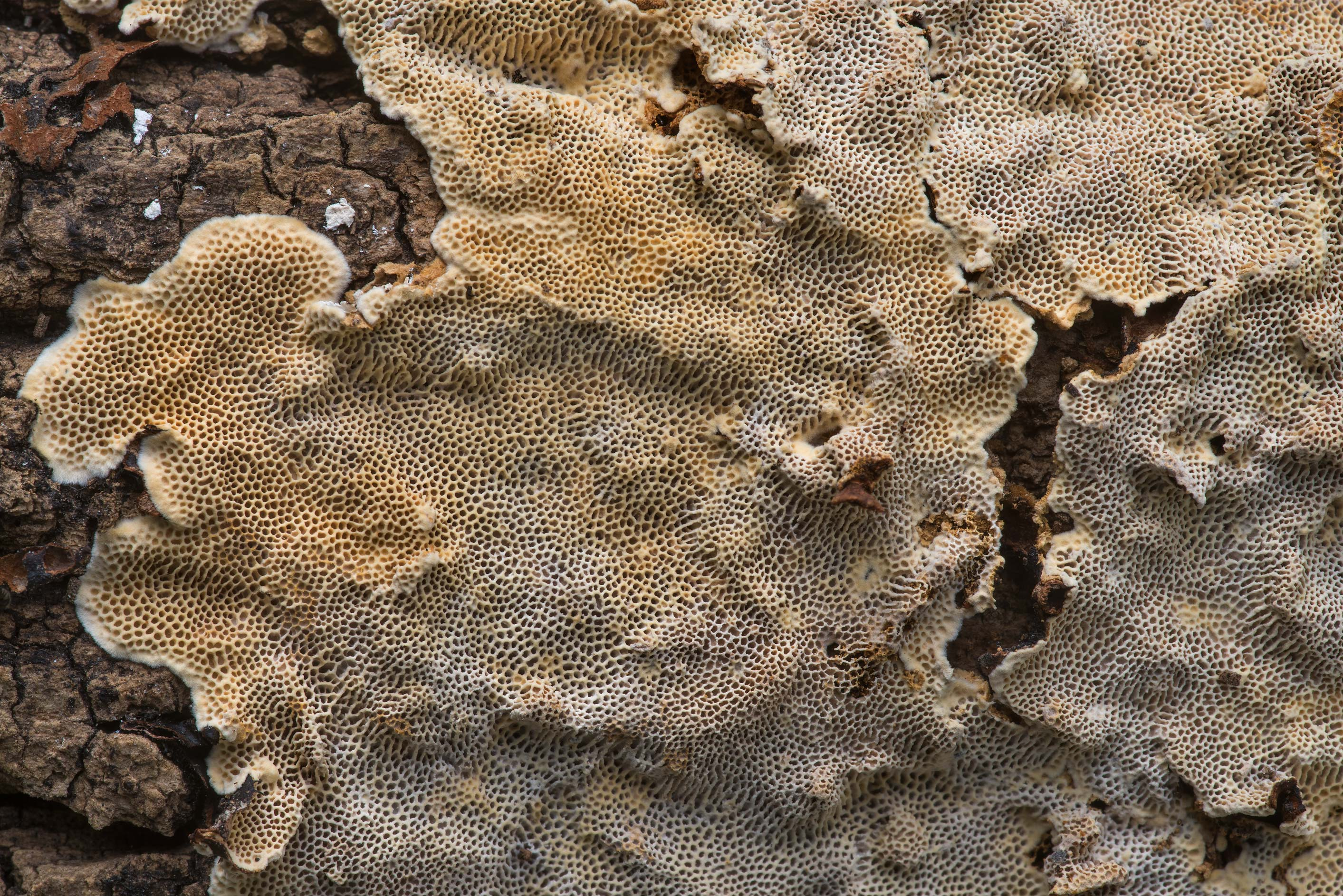 Close-up of resupinate polypore mushroom...Creek Park. College Station, Texas