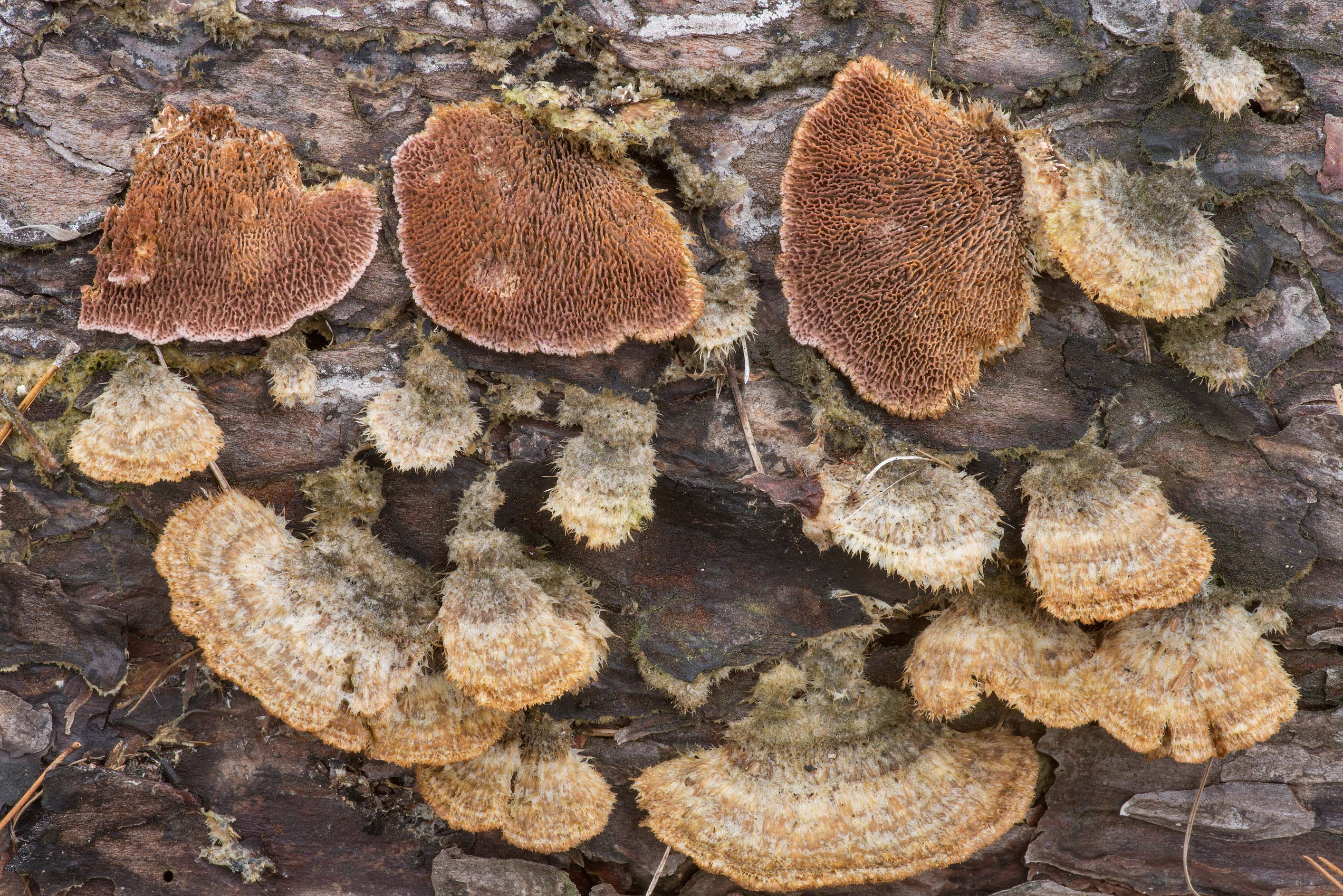 Polypore mushrooms Trichaptum byssogenum on a...in Sam Houston National Forest. Texas