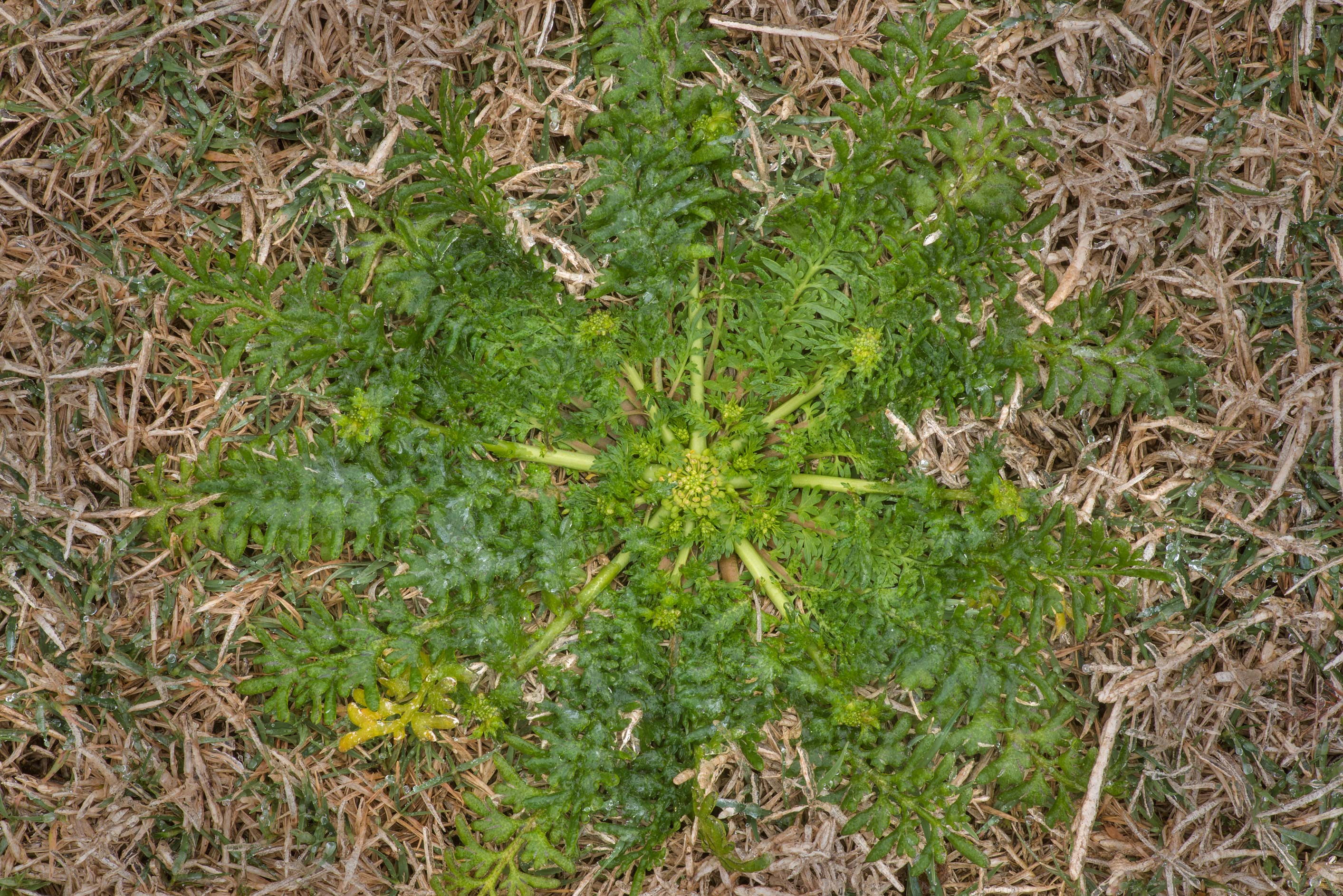 Rosette of lesser swine-cress (Lepidium didymum...M University. College Station, Texas