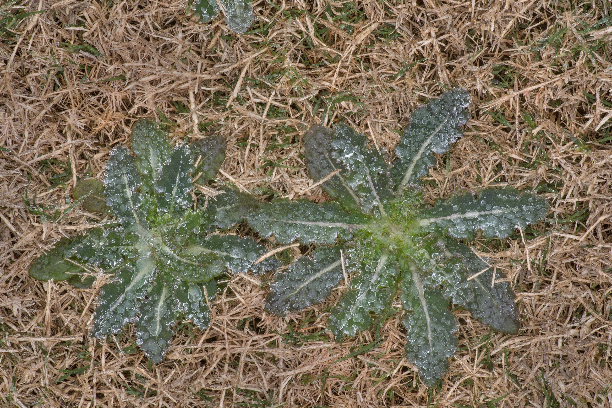 Icy rosettes of sow thistle (Sonchus oleraceus...M University. College Station, Texas