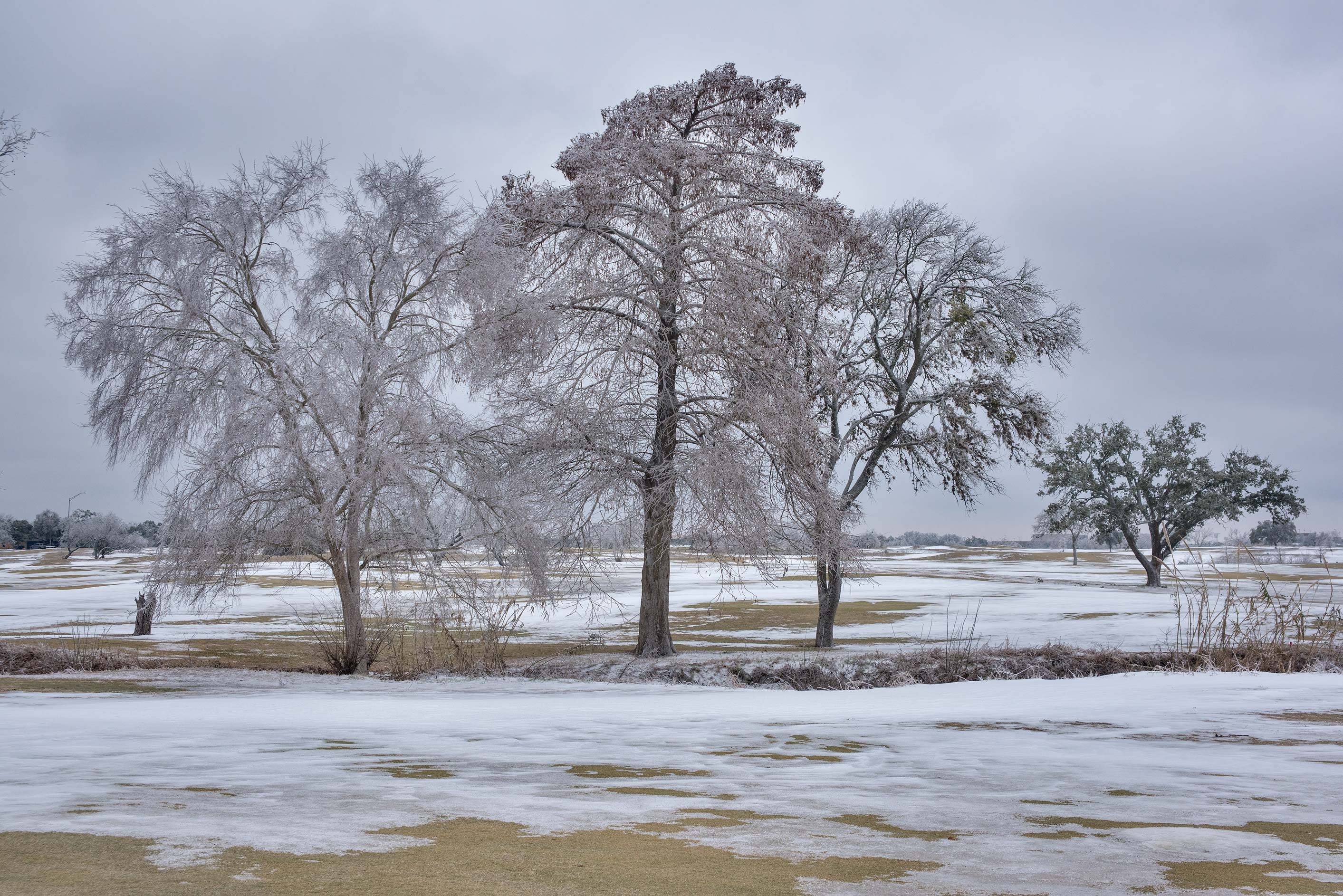 Winter trees on a golf course on campus of Texas...M University. College Station, Texas