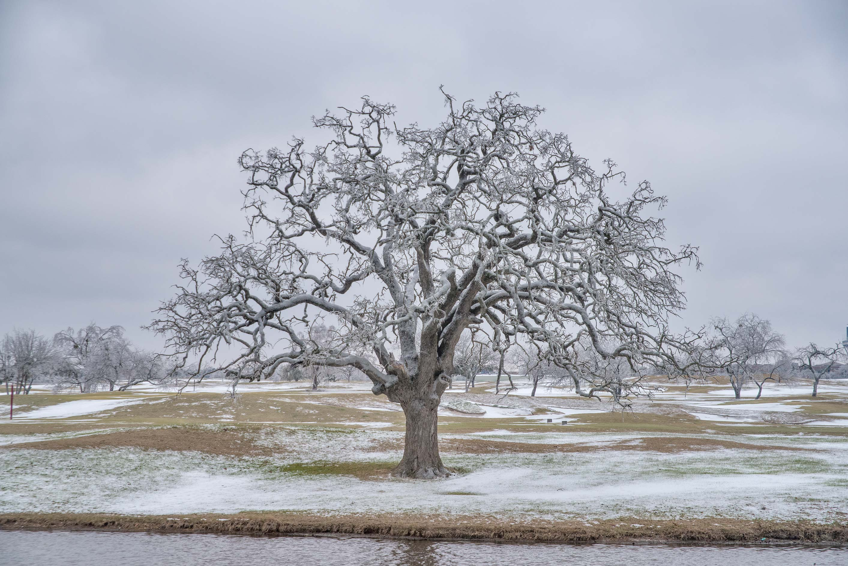 Large oak near a pond on a golf course on campus...M University. College Station, Texas