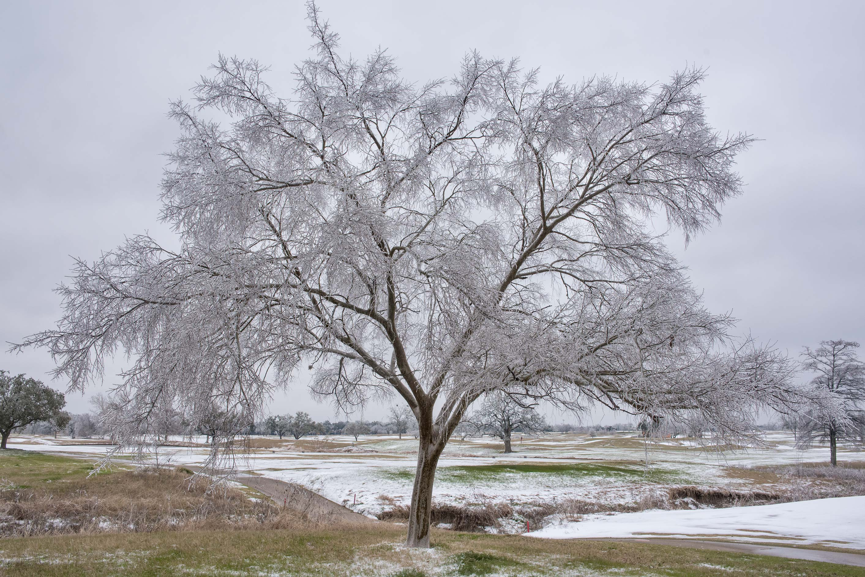 Glazed tree by frost on a golf course on campus...M University. College Station, Texas