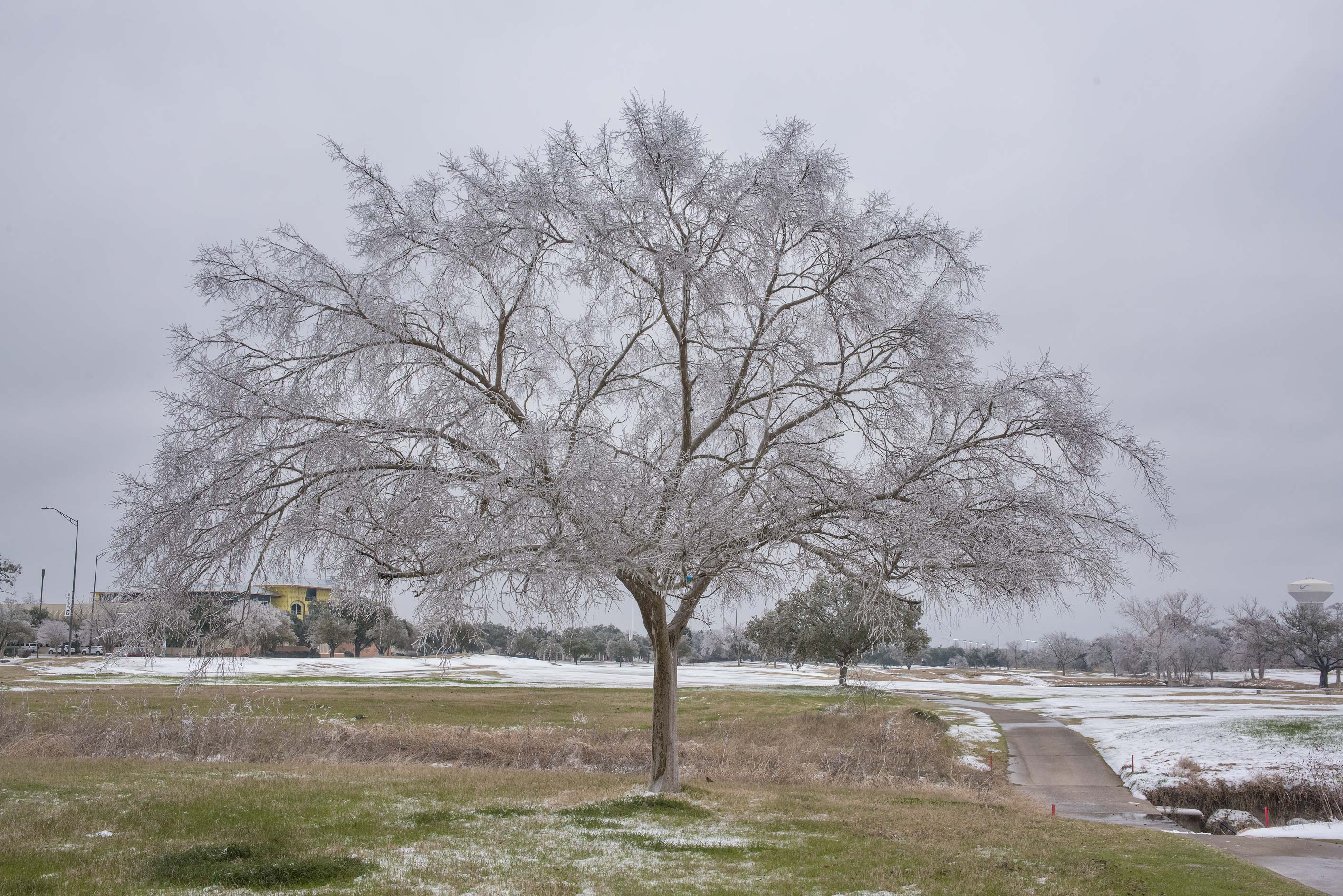 Frozen tree on a golf course on campus of Texas A&M University. College Station, Texas