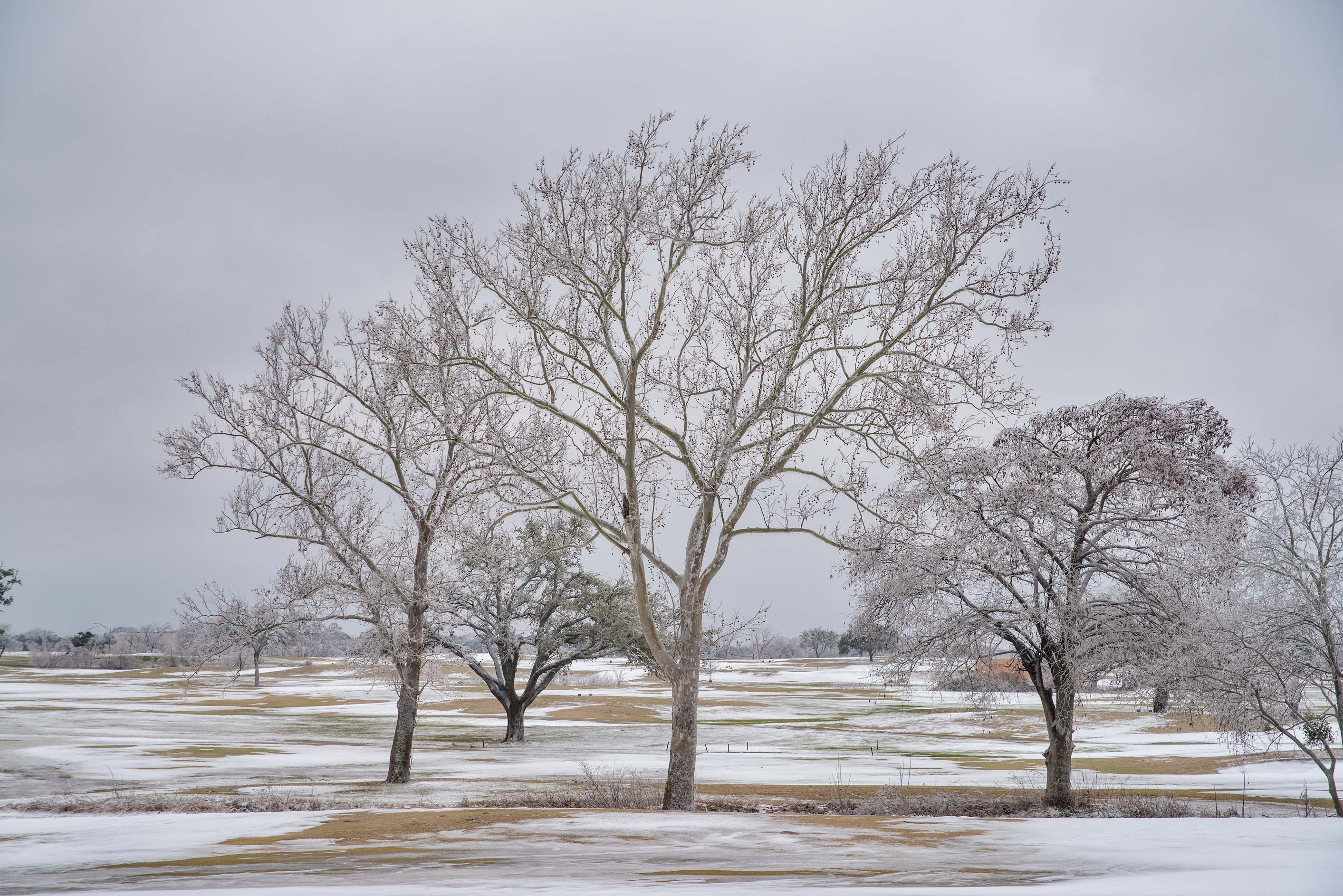 Sycamore trees on a golf course on campus of...M University. College Station, Texas