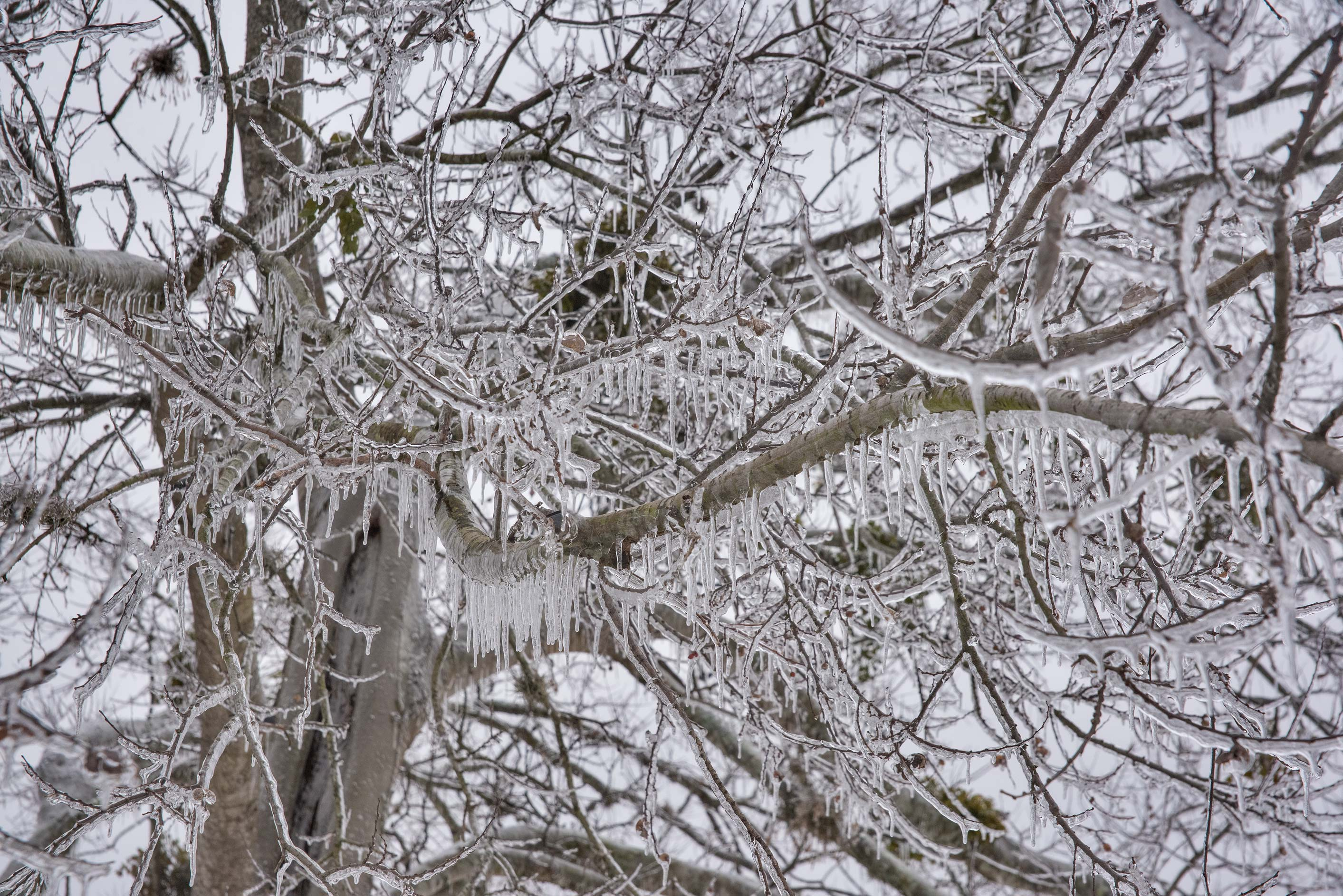 Large icicles on a tree on a golf course on...M University. College Station, Texas