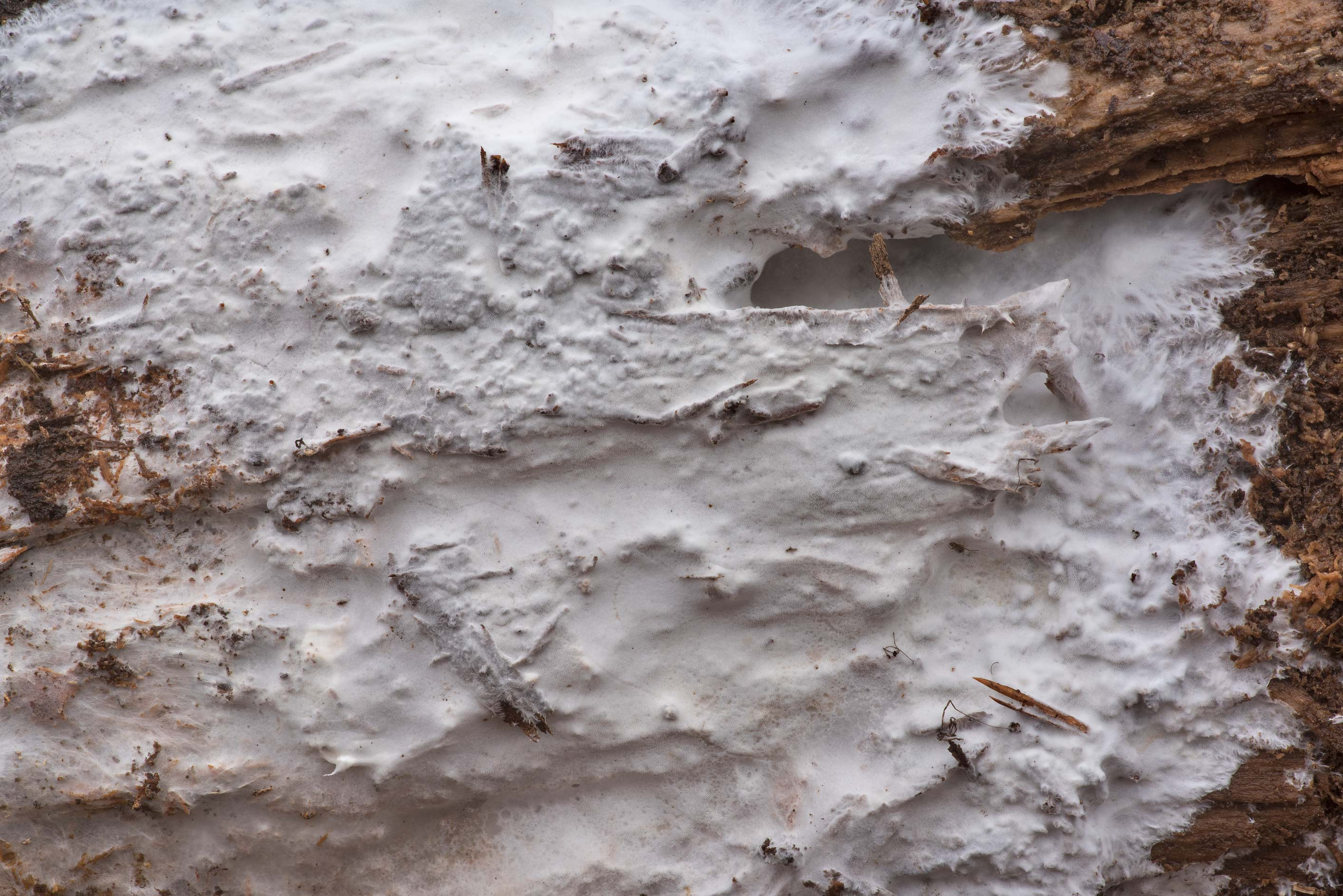 Texture of white resupinate polypore mushroom...Forest north from Montgomery. Texas