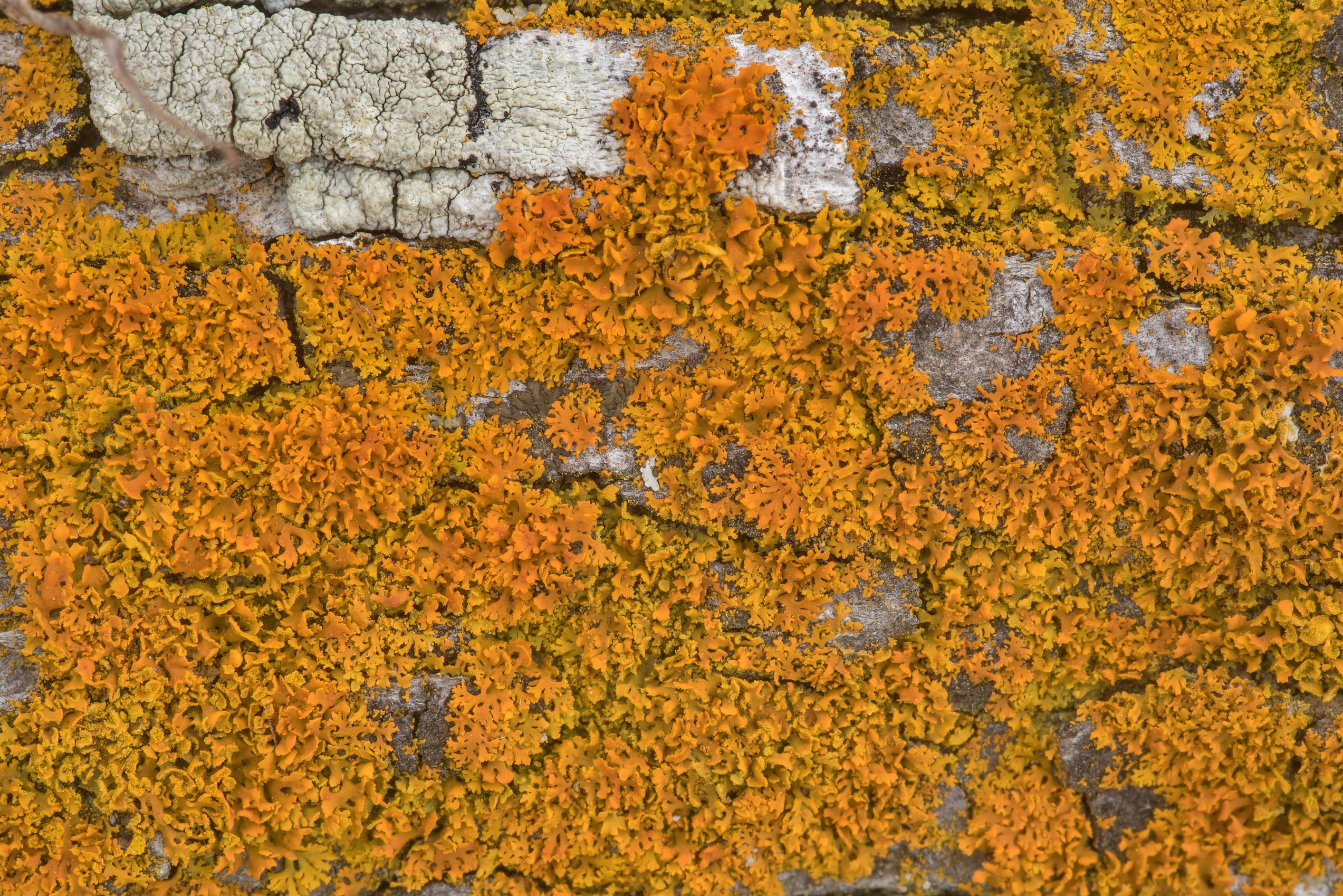 Bare-bottomed sunburst lichen (Xanthomendoza...of Somerville Lake State Park. Texas