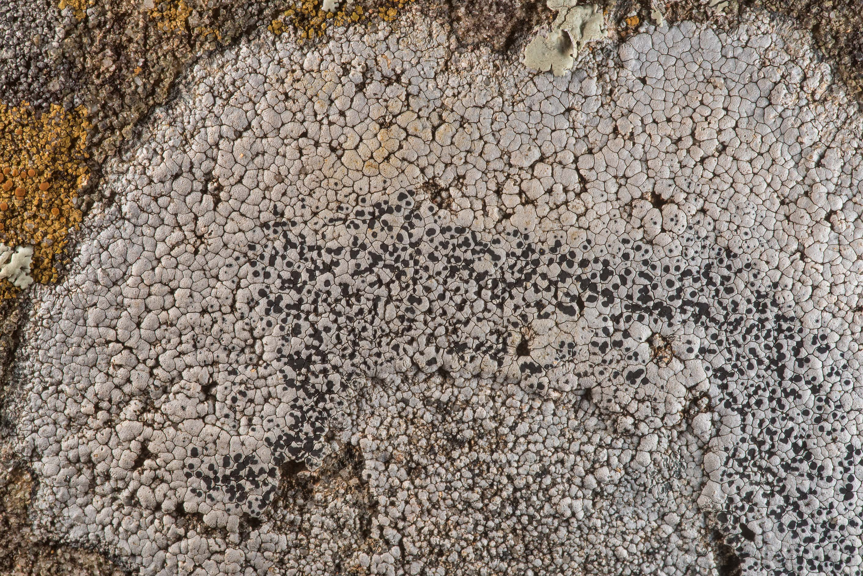 Aspicilia lichen on sandstone bench near Lost...in Bastrop State Park. Bastrop, Texas