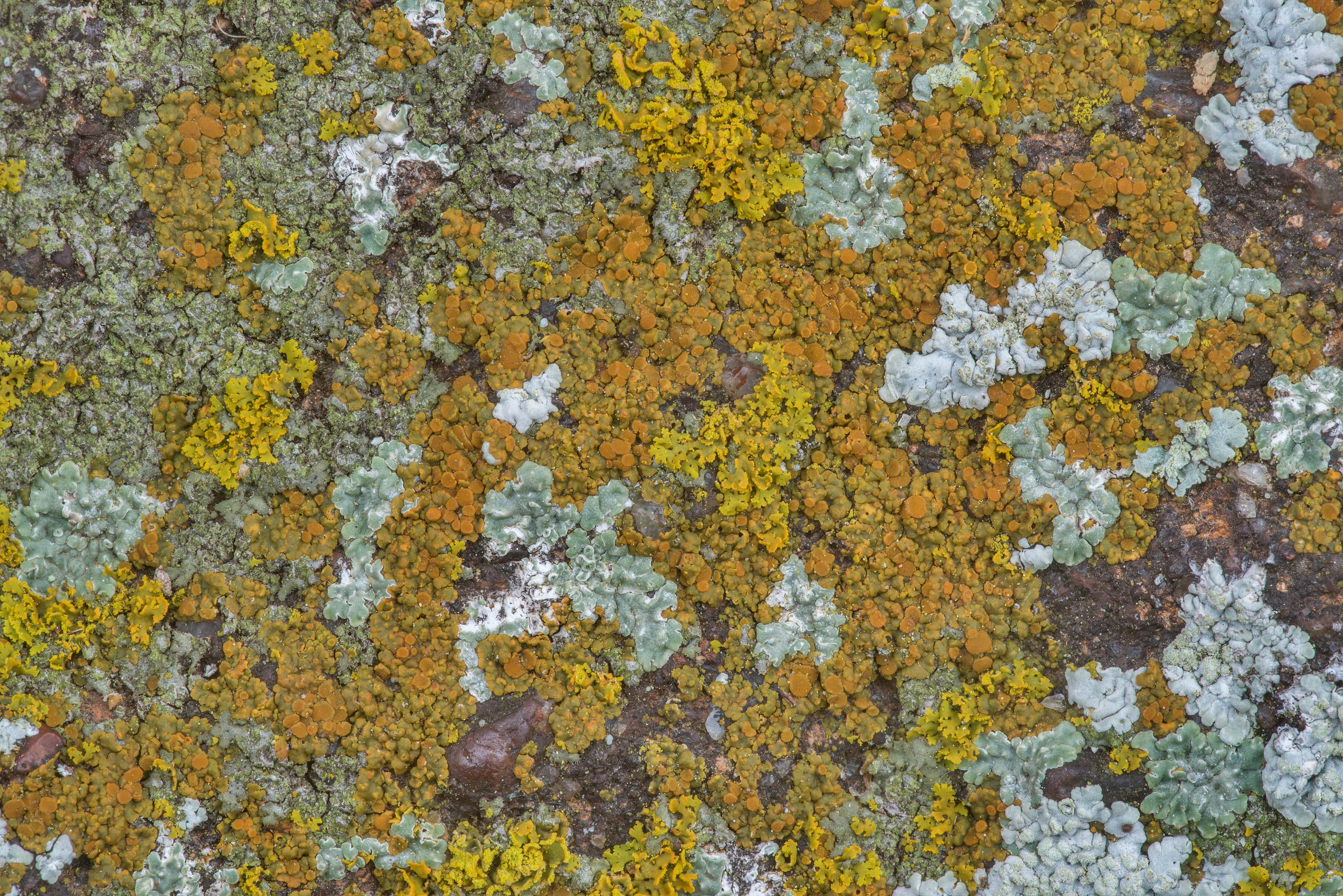 Multicolored lichens on sandstone of Lost Pines...in Bastrop State Park. Bastrop, Texas