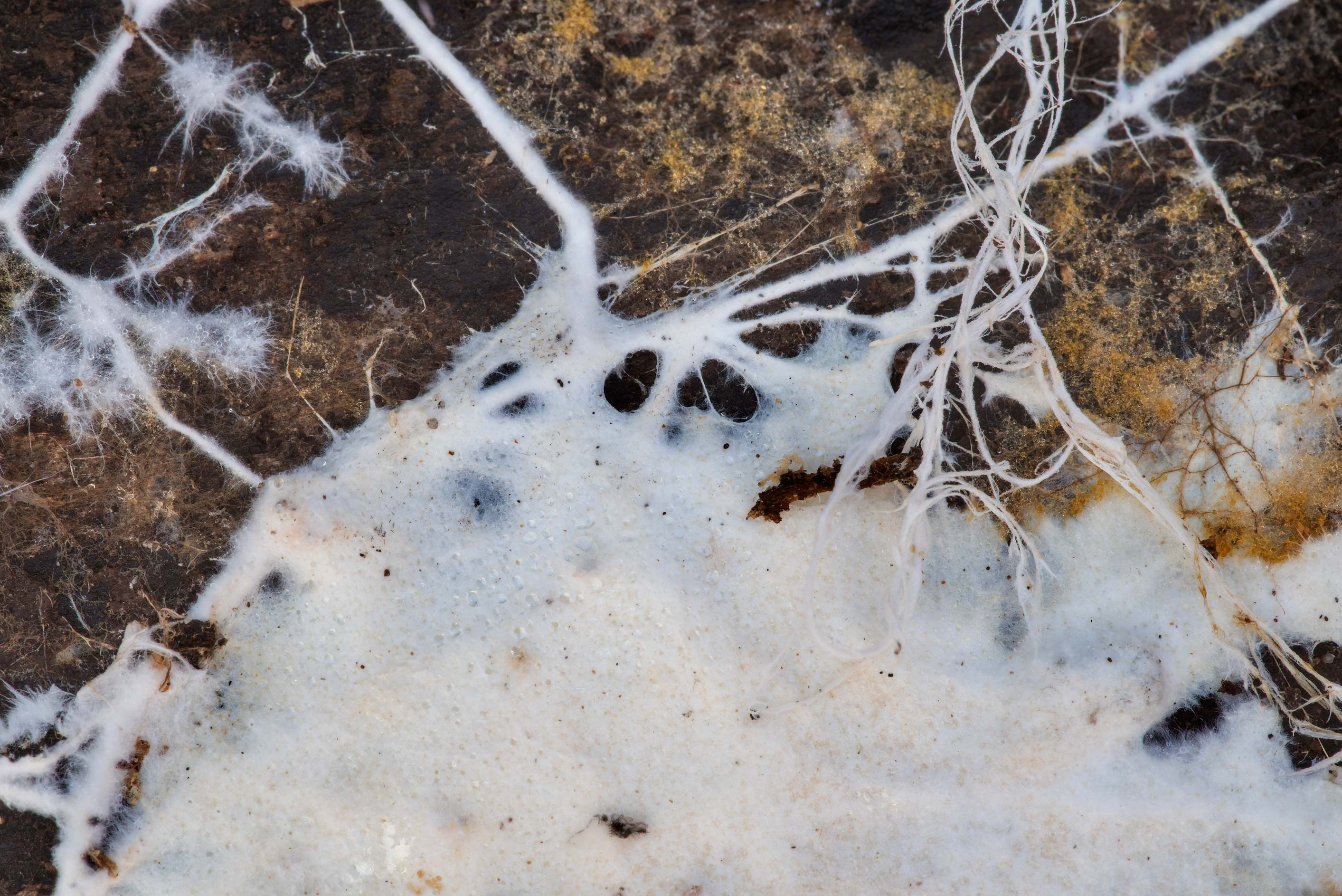 Close-up of hyphae of white corticioid fungus...National Forest near Montgomery. Texas