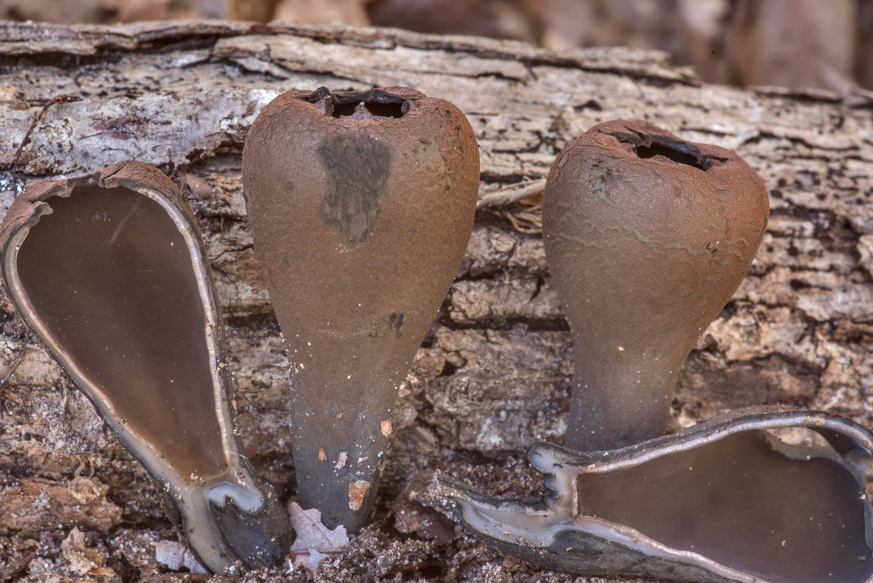 Devil's urn mushrooms (Urnula craterium) with a...Forest north from Montgomery. Texas