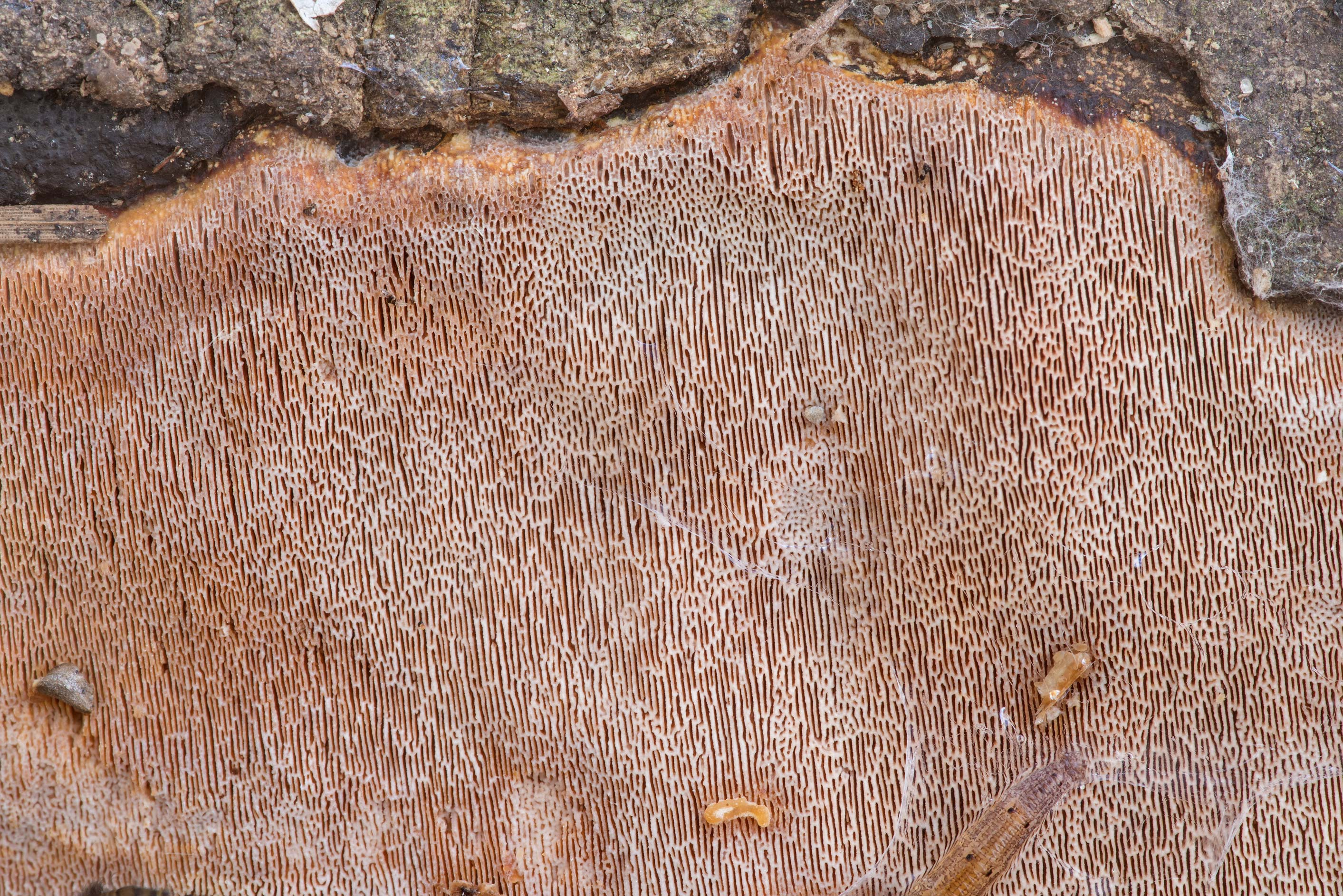 Close-up of pink resupinate polypore mushroom on...Forest north from Montgomery. Texas