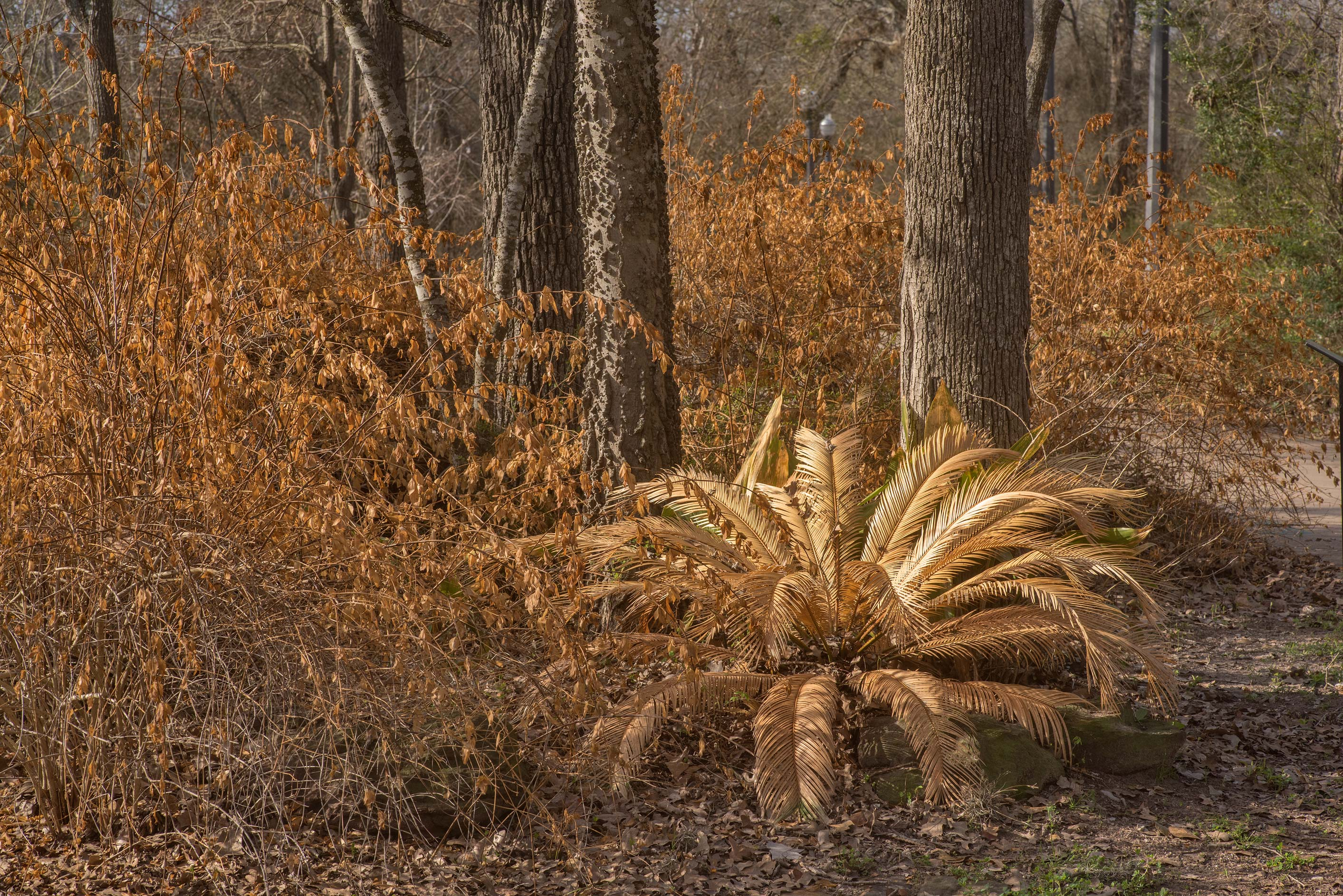 Dry Sago palm and yellow jasmine at a trail...Pen Creek Park. College Station, Texas