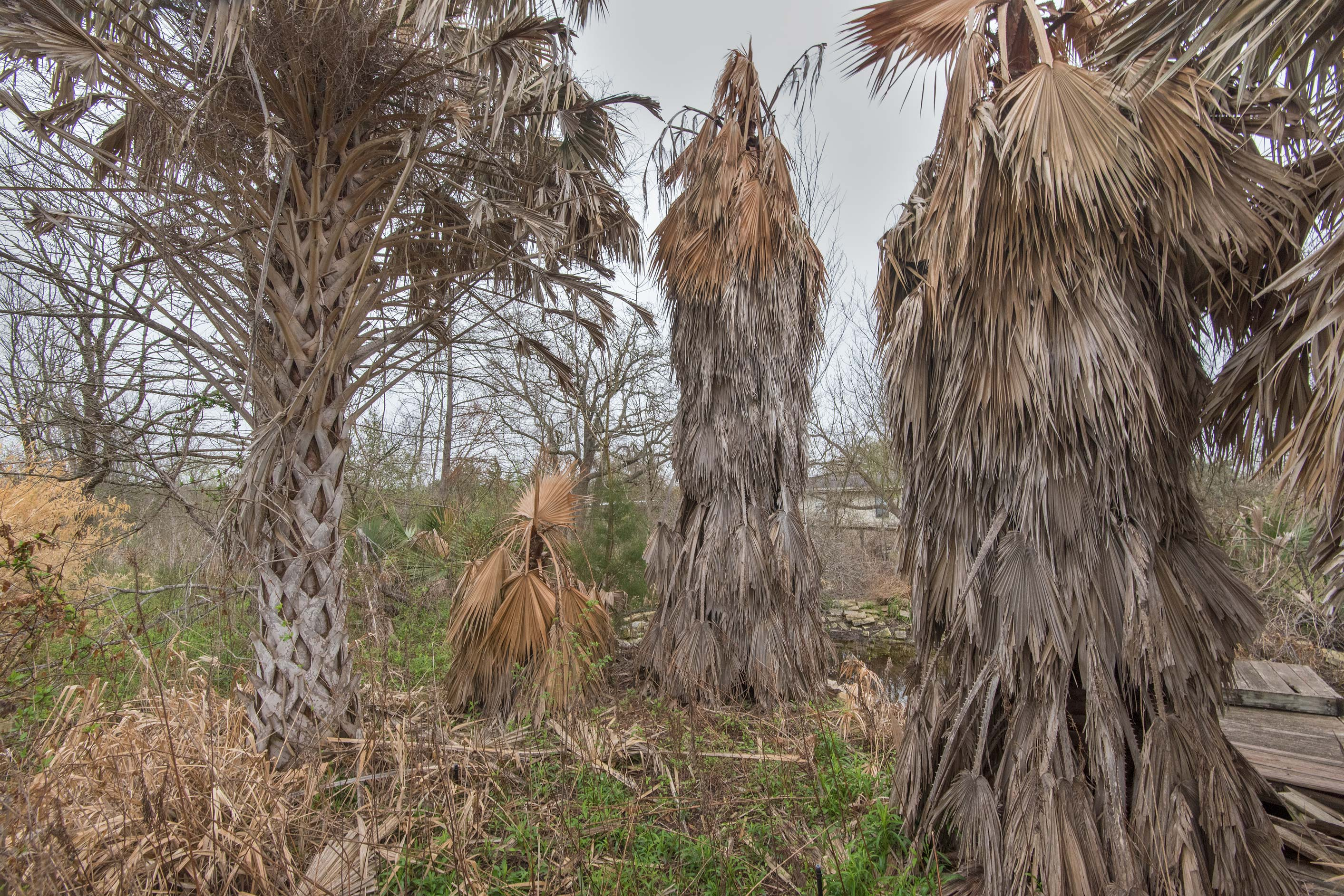 Dead palms in TAMU Horticultural Gardens in Texas...M University. College Station, Texas