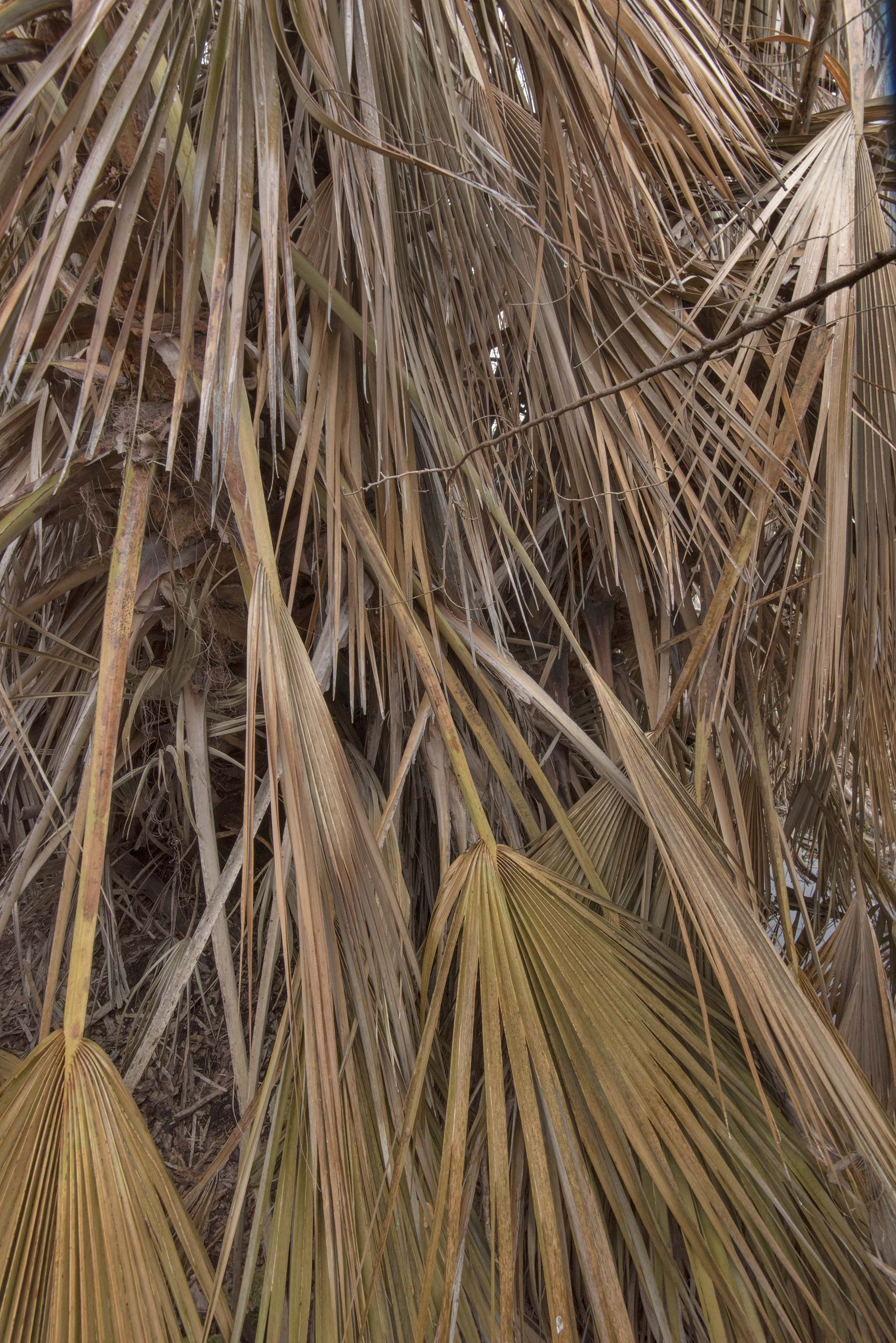 Palm leaves damaged by freeze in TAMU...M University. College Station, Texas