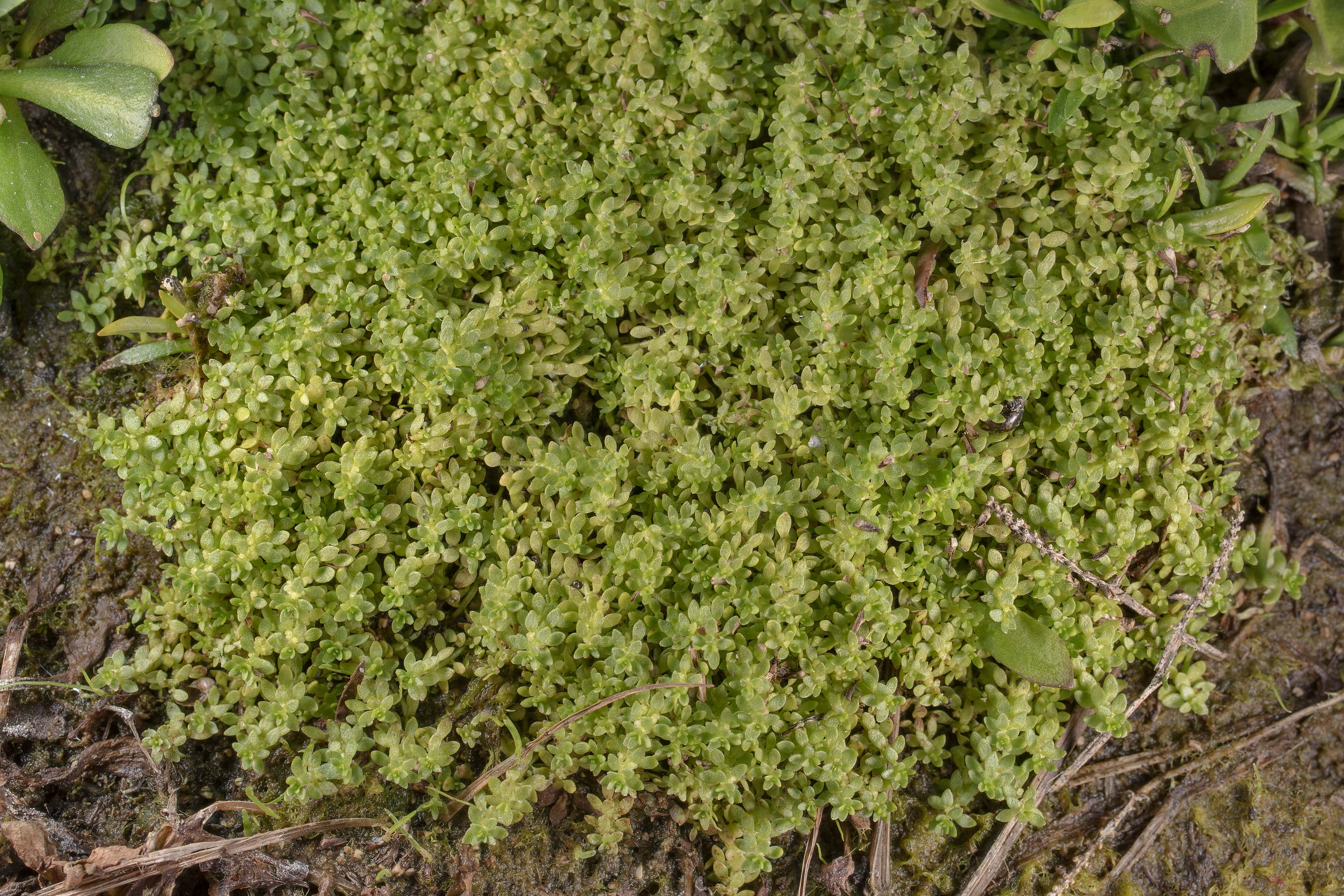 Green mat of a prostrate plant with tiny leaves...of Somerville Lake State Park. Texas
