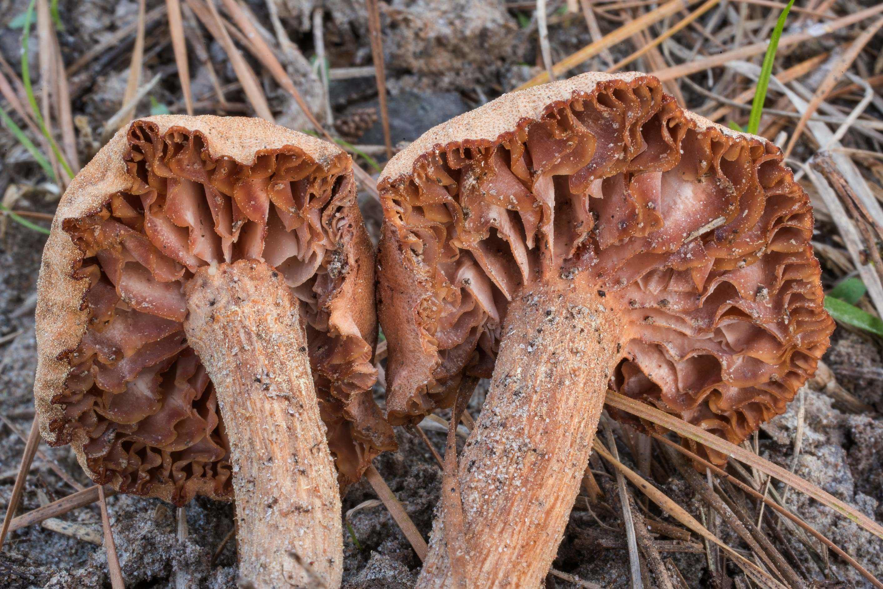 Underside of sand dune mushrooms (Laccaria...in Sam Houston National Forest. Texas
