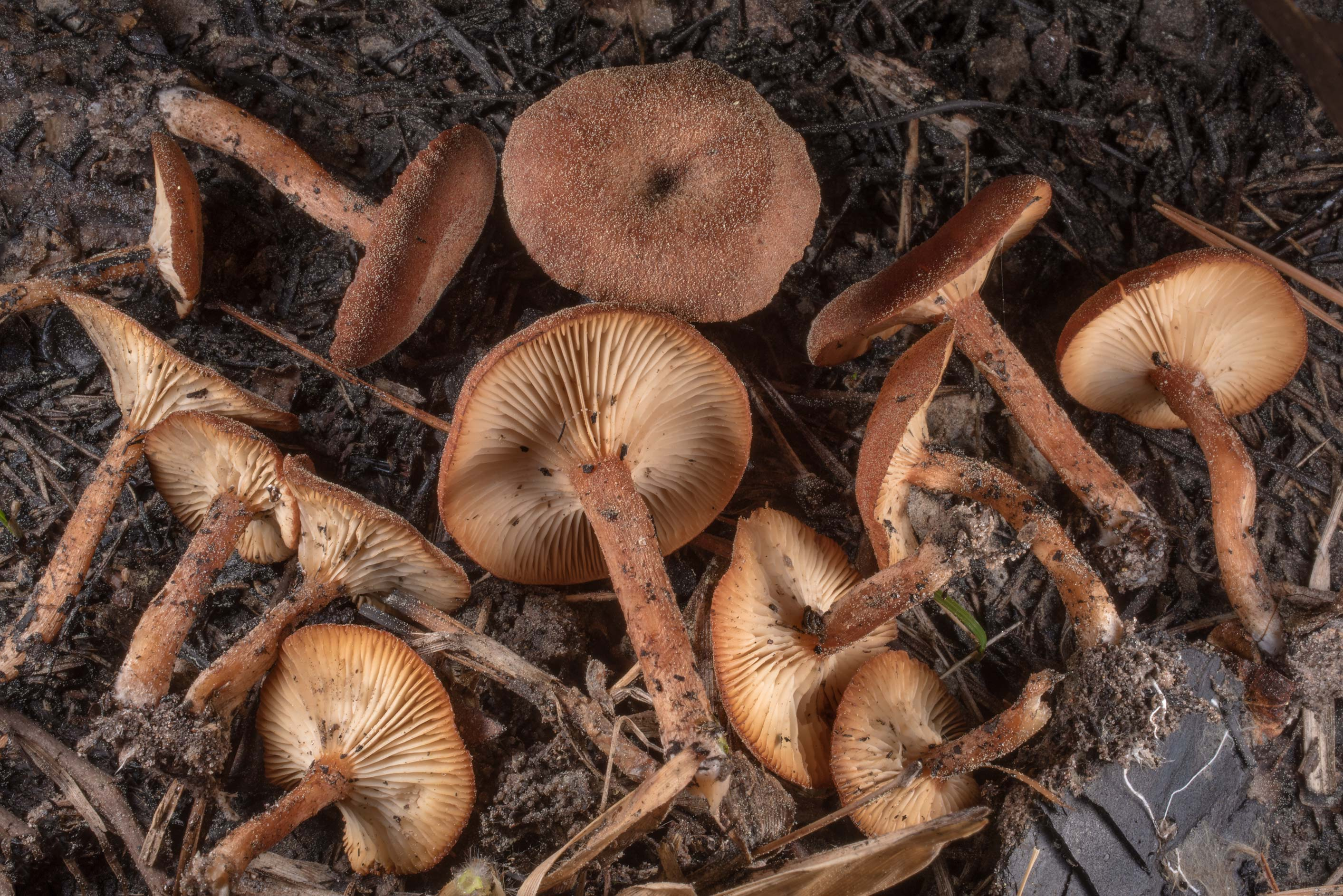 Brick-red Clitocybe mushrooms (Clitocybe sinopica...in Sam Houston National Forest. Texas