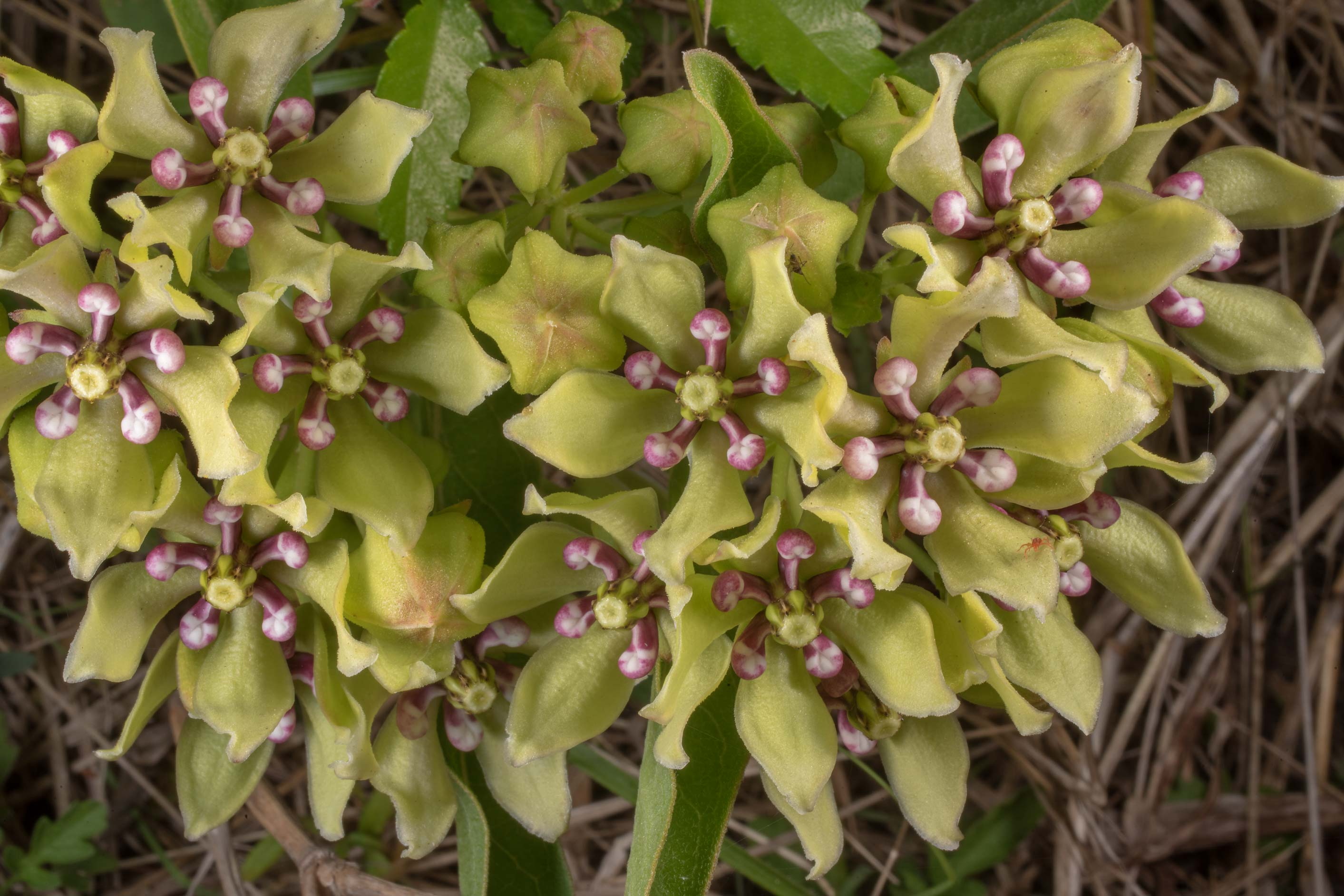 Blooming green milkweed (Asclepias viridis) in...State Historic Site. Washington, Texas