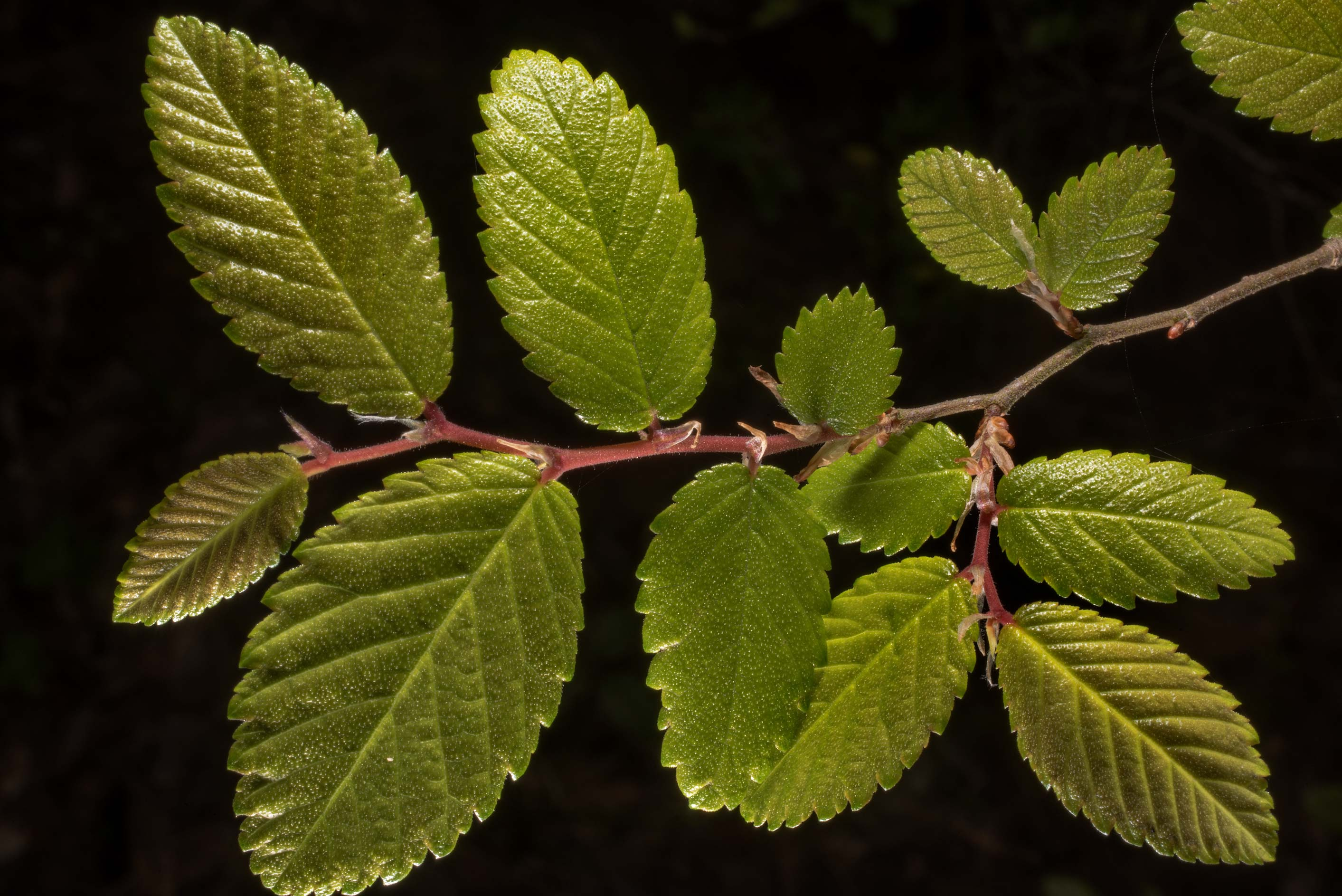 Young leaves of cypress elm in Washington-on-the...State Historic Site. Washington, Texas