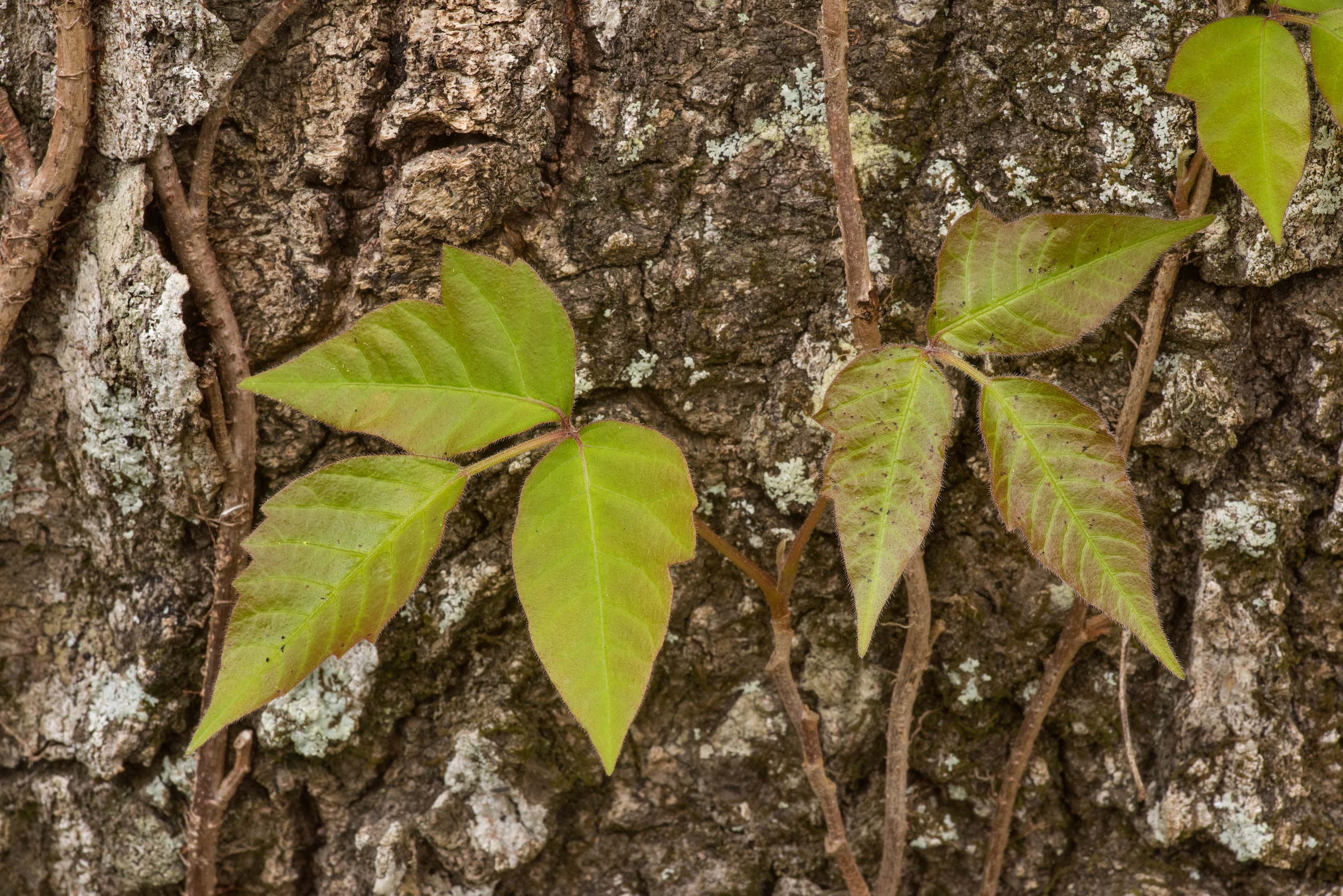 Shoot of poison ivy on an oak tree in Lick Creek Park. College Station, Texas