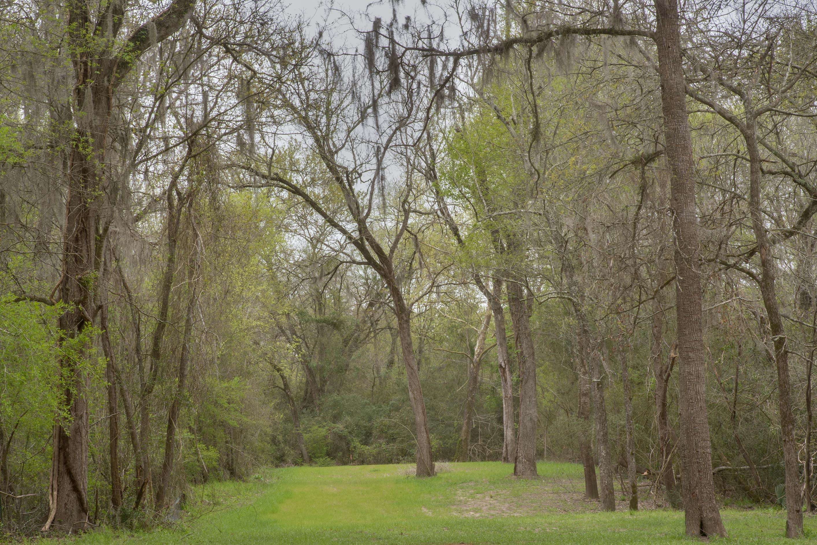 Oak alley along eastern border in Lick Creek Park. College Station, Texas