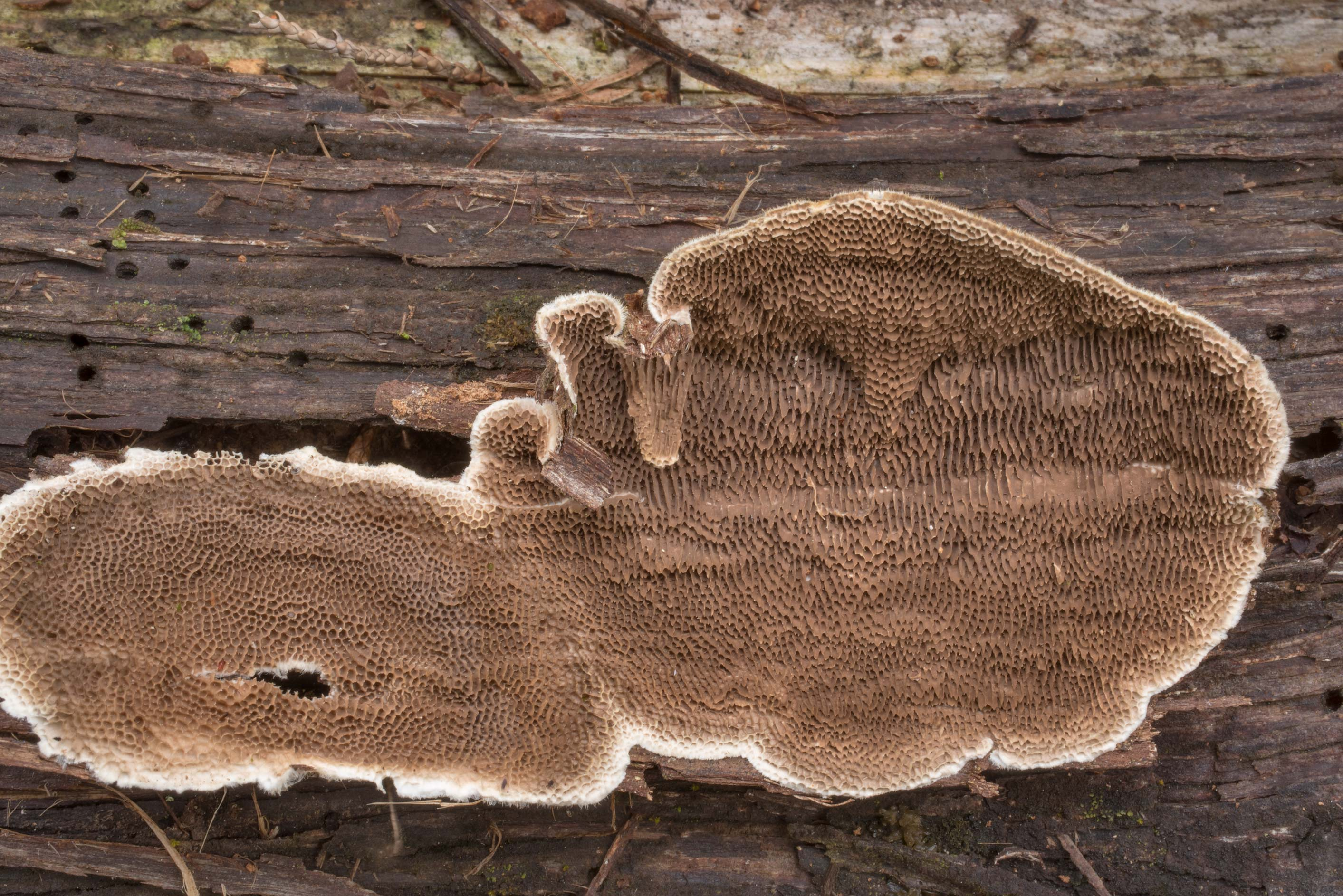 Pore surface of polypore mushroom Trametes...in Hensel Park. College Station, Texas