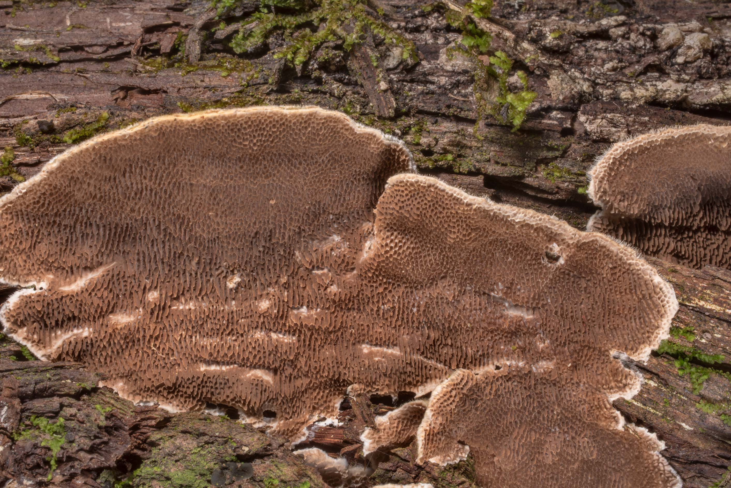 Polypore mushroom Trametes villosa on a lower...in Hensel Park. College Station, Texas