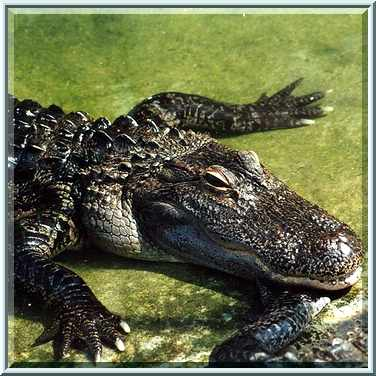 alligator middle eastern singles New orleans restaurants guide by locals with reviews, map of restaurants, specials, recipes and more.