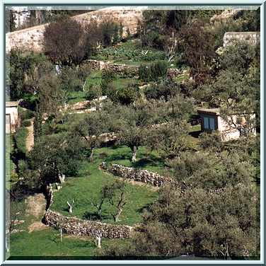 Photo 245 02 Olive Terrace Gardens On Slopes Of Mount Of Olives Jerusalem The Middle East
