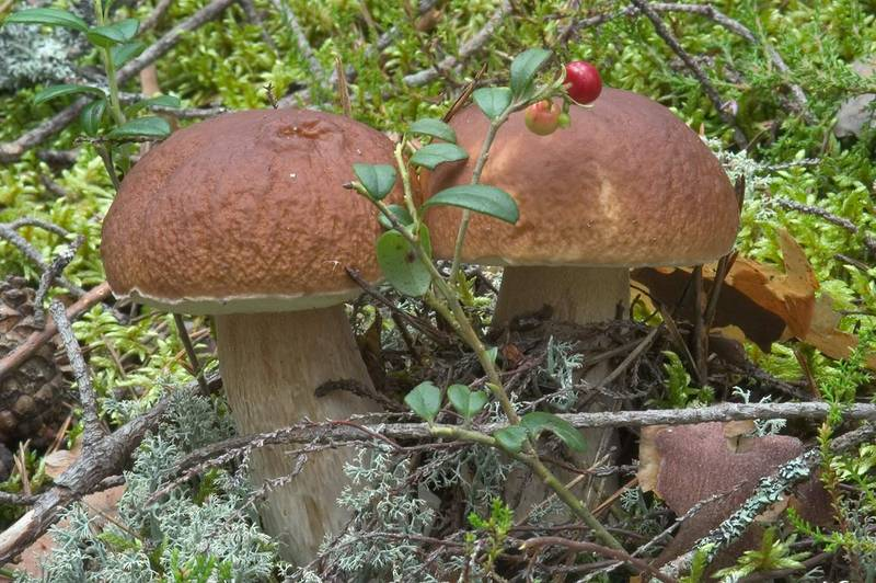 "<B>Boletus edulis</B> mushrooms (Russian name Belyi Grib) between Orekhovo and Lembolovo, 30 miles north from Saint Petersburg. Russia, <A HREF=""../date-ru/2004-08-19.htm"">August 19, 2004</A>"