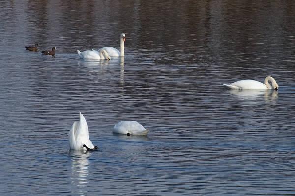Swans In Rhode Island