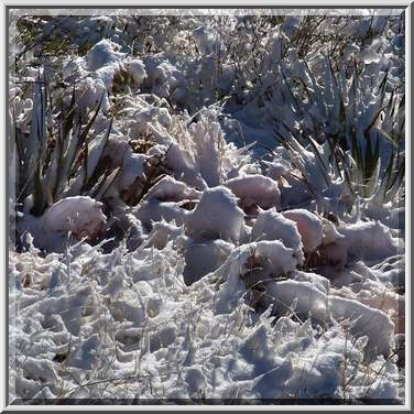 Photo 607-16: Agaves and cacti in snow near a road between ...