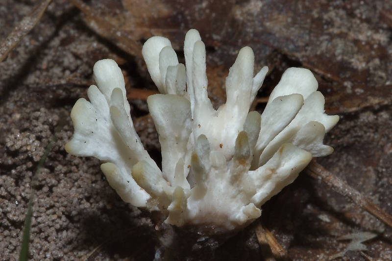 "False coral mushrooms (<B>Tremellodendron schweinitzii</B>) on Four Notch Loop Trail in Sam Houston National Forest. Huntsville, Texas, <A HREF=""../date-en/2008-05-11.htm"">May 11, 2008</A>"