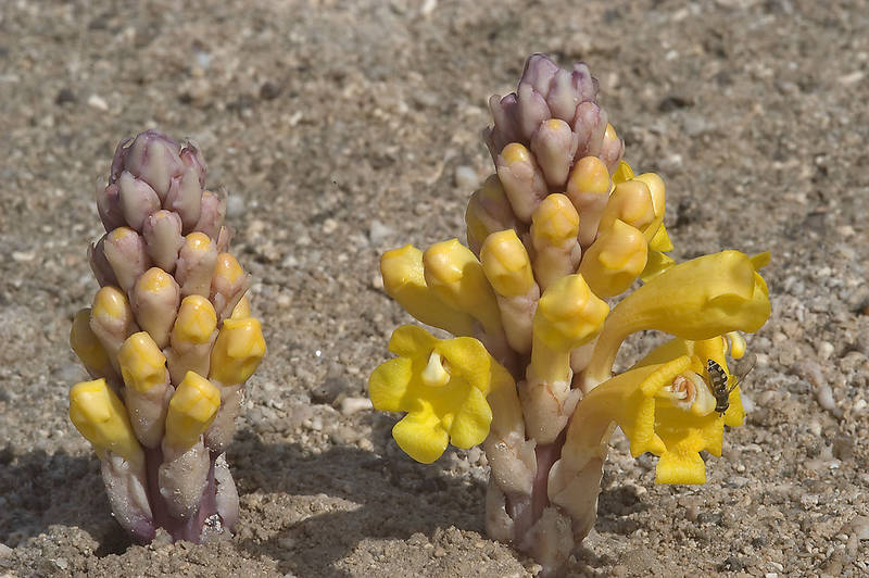 Pyramid spikes of bright yellow flowers of a parasitic plant Cistanche tubulosa (desert hyacinth, dhanoon, Tartuth) with a fly. Salt marsh near Mesaieed, Qatar, January 29, 2010