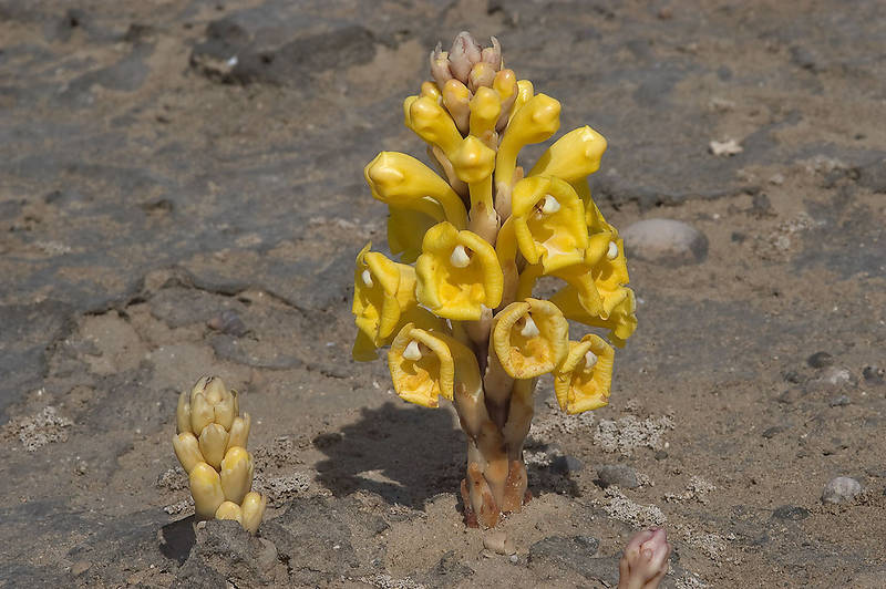 Flower spikes of bright yellow flowers of a parasitic plant Cistanche tubulosa (desert hyacinth, dhanoon, Tartuth) popping from cyanobacterial crust of salt marsh. Southeast coastal area near Mesaieed, Qatar, January 29, 2010