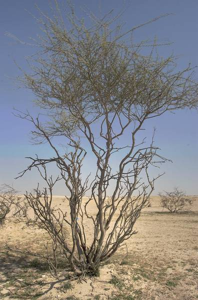 Thorn Acacia (Acacia ehrenbergiana, local name Salam) trimmed by grazing camels in desert near Cave of Brightness in south central area. Qatar, February 19, 2010