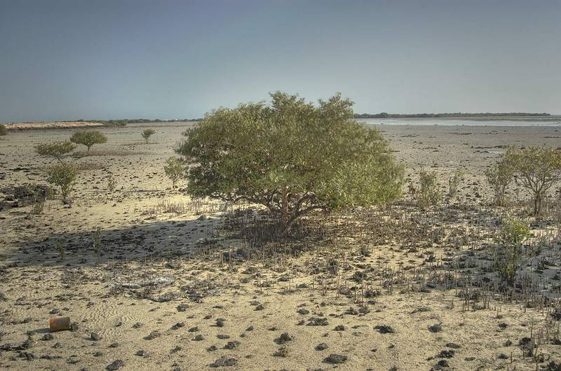 Grey mangroves (Avicennia marina, qurm, shourah) surrounded by aerial roots (pneumatophores) at low tide in Purple Island (Jazirat Bin Ghanim). Al Khor, Qatar, February 19, 2010