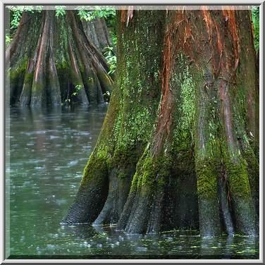 Photo 860 14 Bald Cypress In Mercer Arboretum And Botanical Gardens Humble Houston Area Texas
