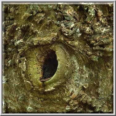 Tree bark texture in washington-on-the-brazos state historic site