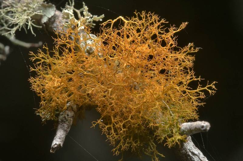 "Slender orange bush lichen (<B>Teloschistes exilis</B>) on a twig in Washington-on-the-Brazos State Historic Site. Washington, Texas, <A HREF=""../date-en/2010-08-29.htm"">August 29, 2010</A>"
