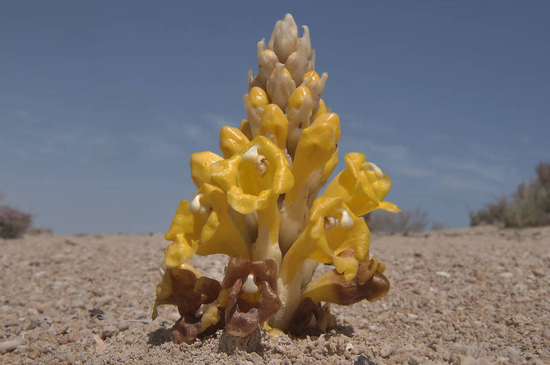 Pyramid flower spike of a parasitic plant Cistanche tubulosa (desert hyacinth, dhanoon, Tartuth) in Purple Island (Jazirat Bin Ghanim). Al Khor, Qatar, March 4, 2011